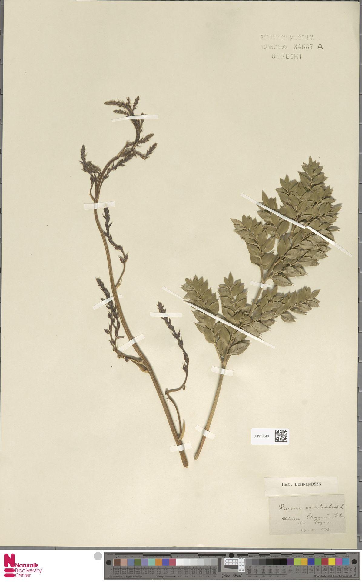 U.1213040 | Ruscus aculeatus L.