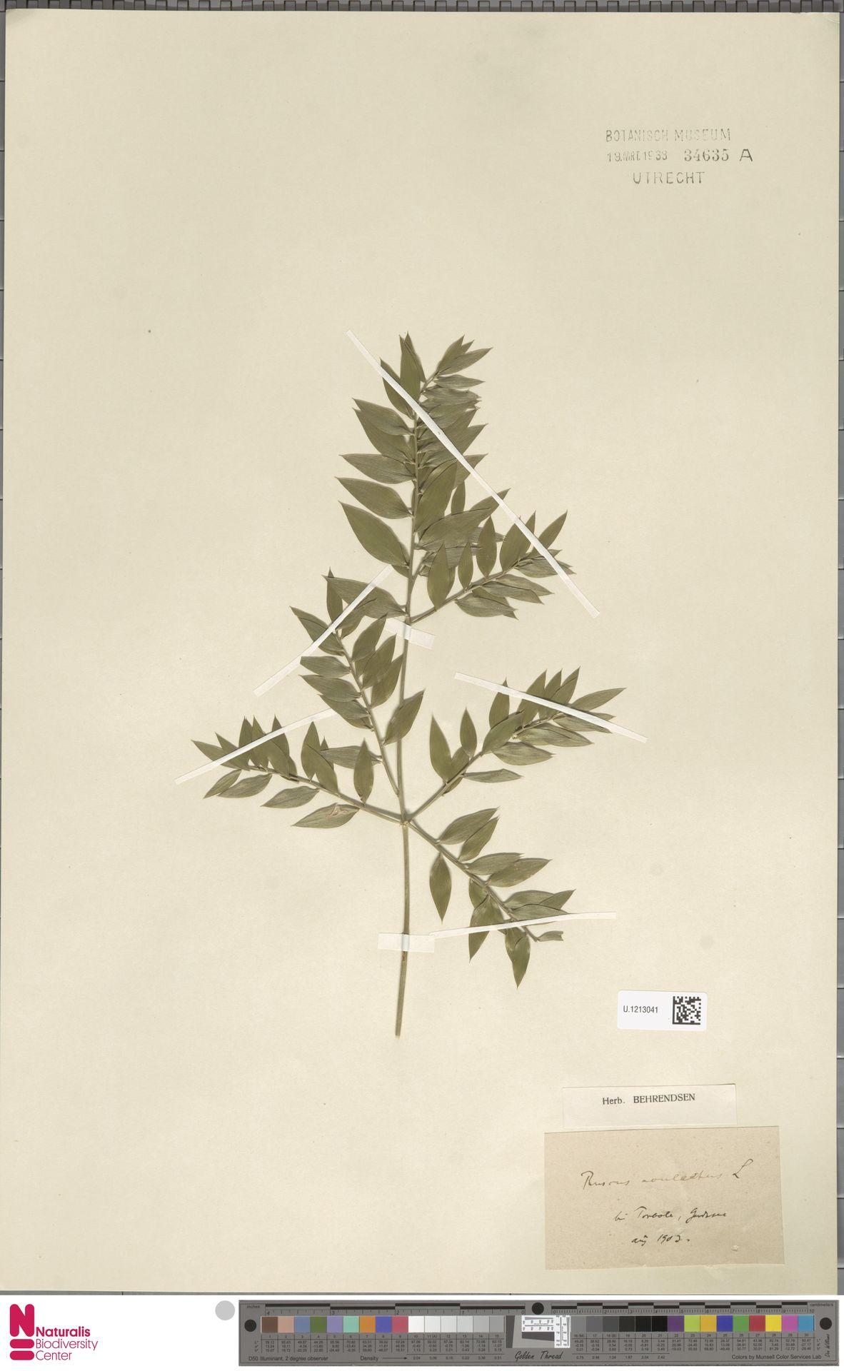 U.1213041   Ruscus aculeatus L.