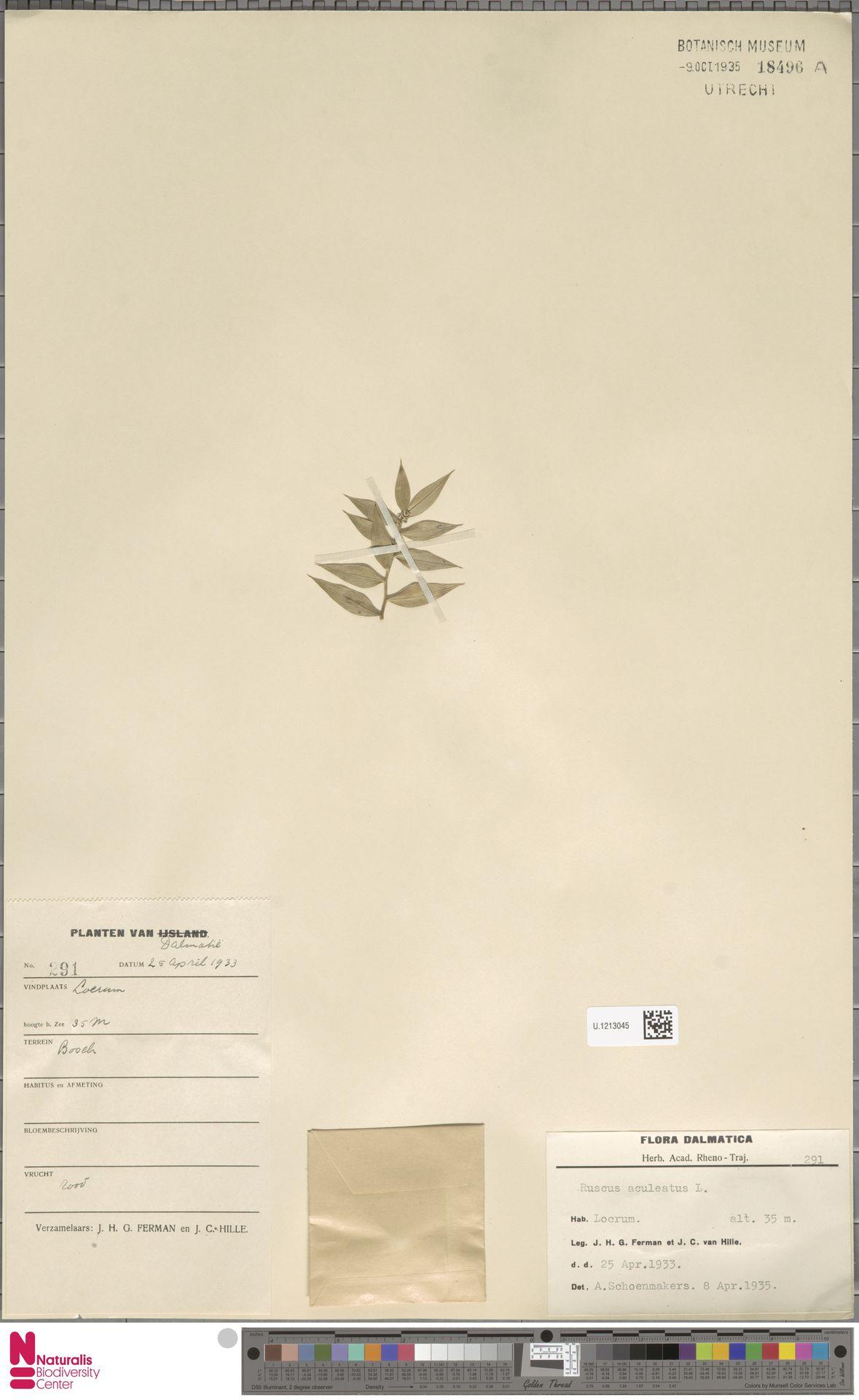 U.1213045 | Ruscus aculeatus L.