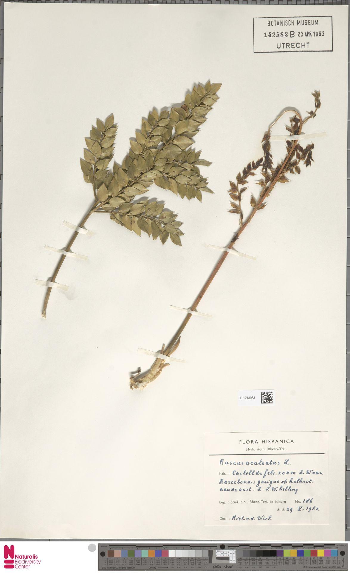 U.1213053 | Ruscus aculeatus L.