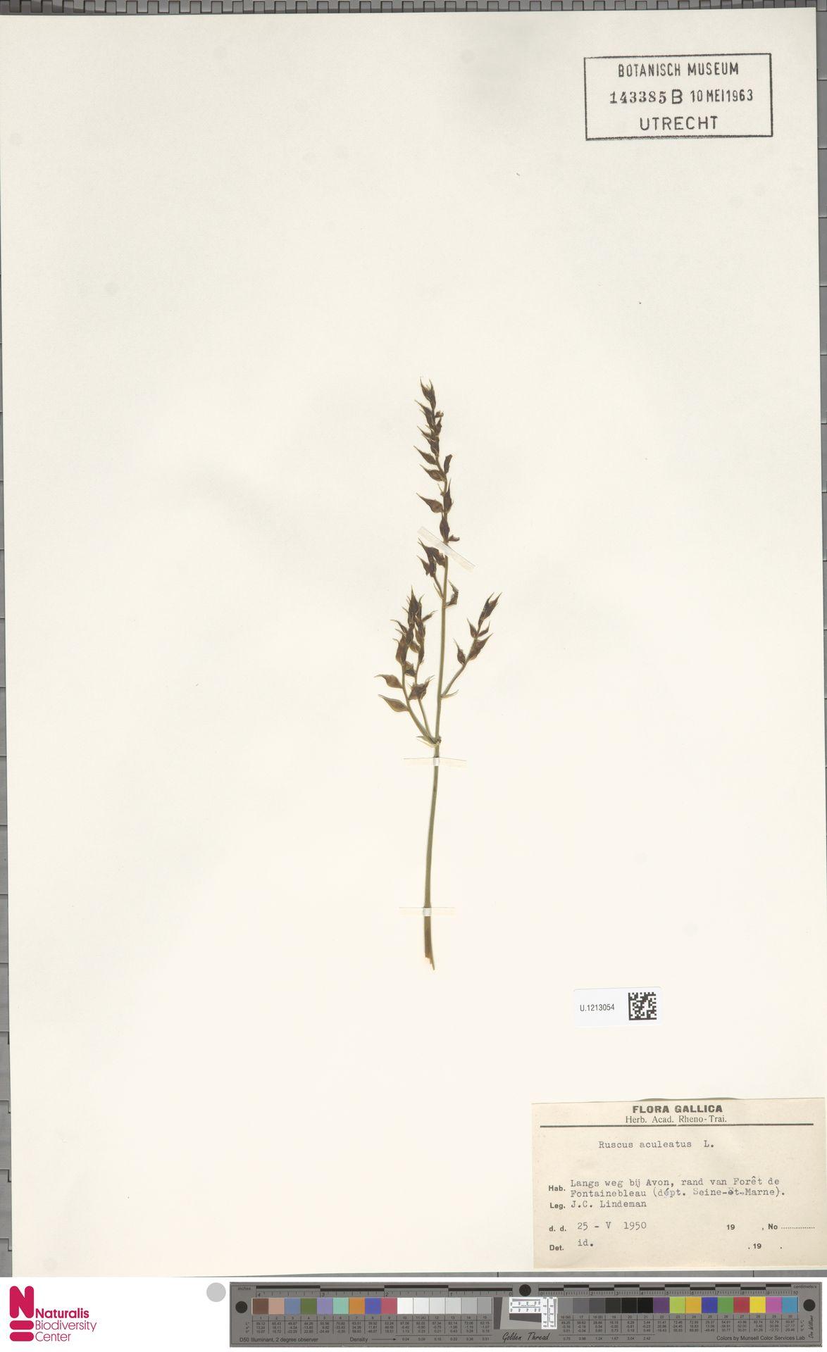 U.1213054 | Ruscus aculeatus L.