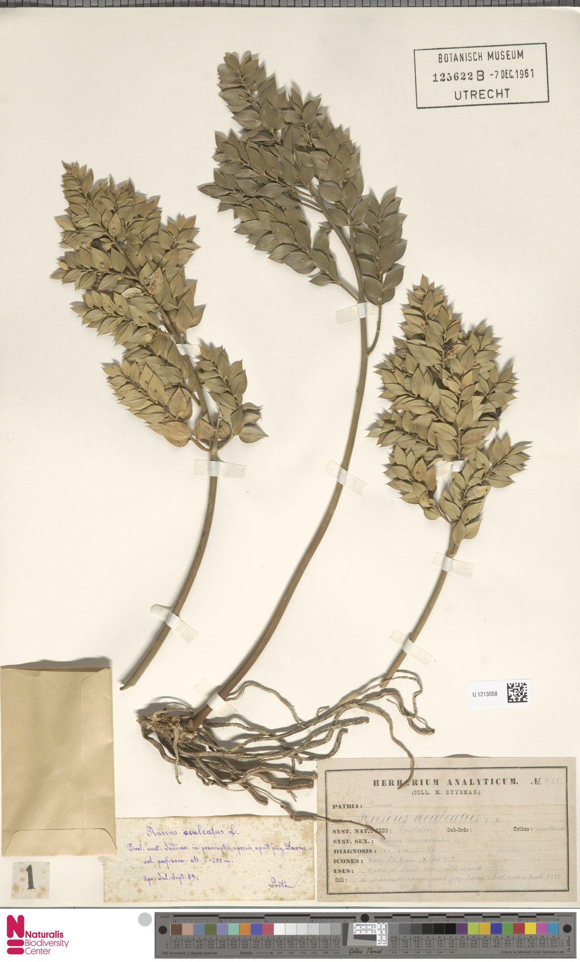 U.1213058 | Ruscus aculeatus L.