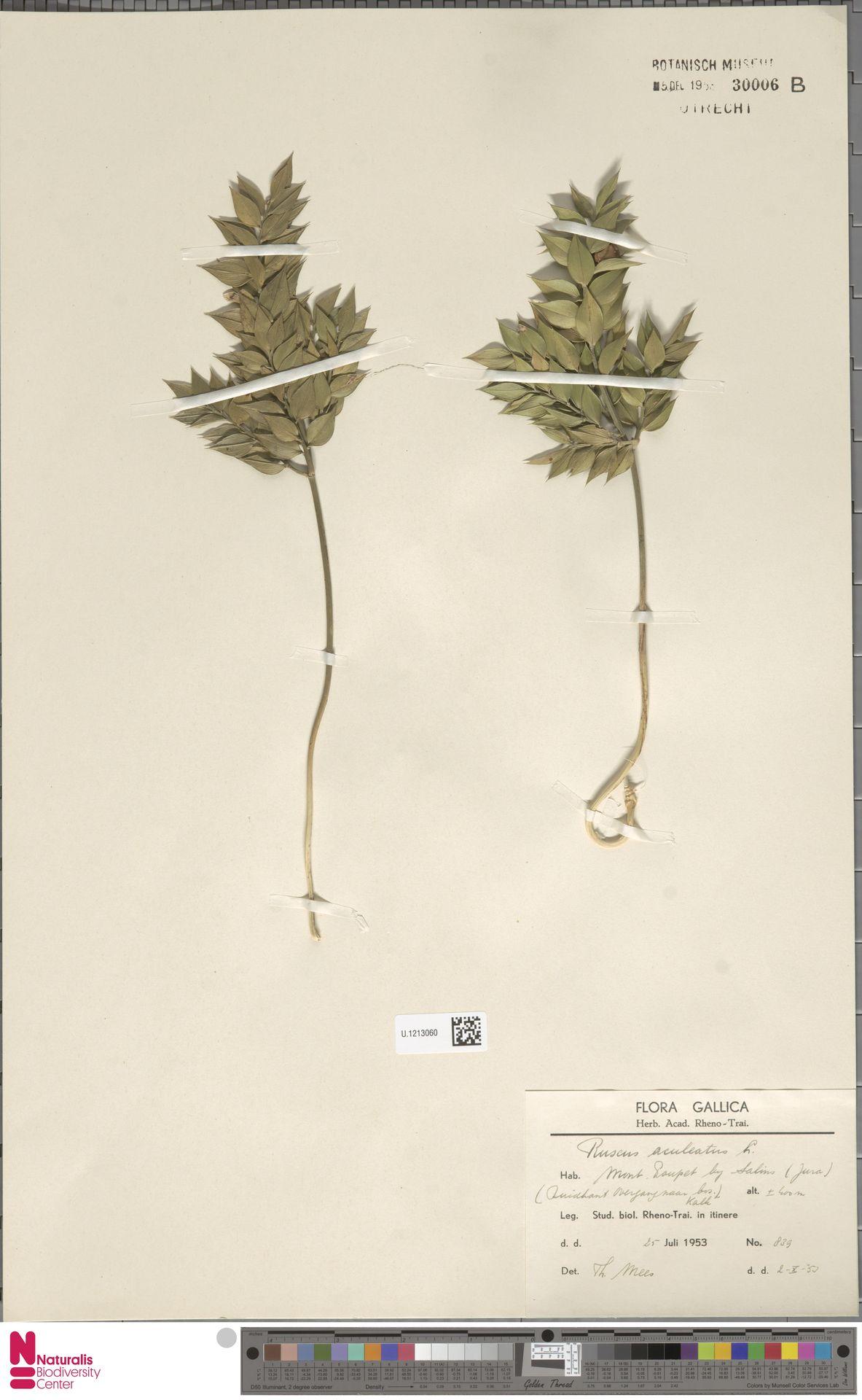 U.1213060   Ruscus aculeatus L.