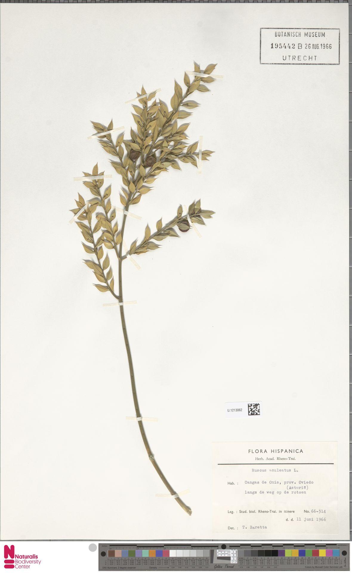U.1213062 | Ruscus aculeatus L.