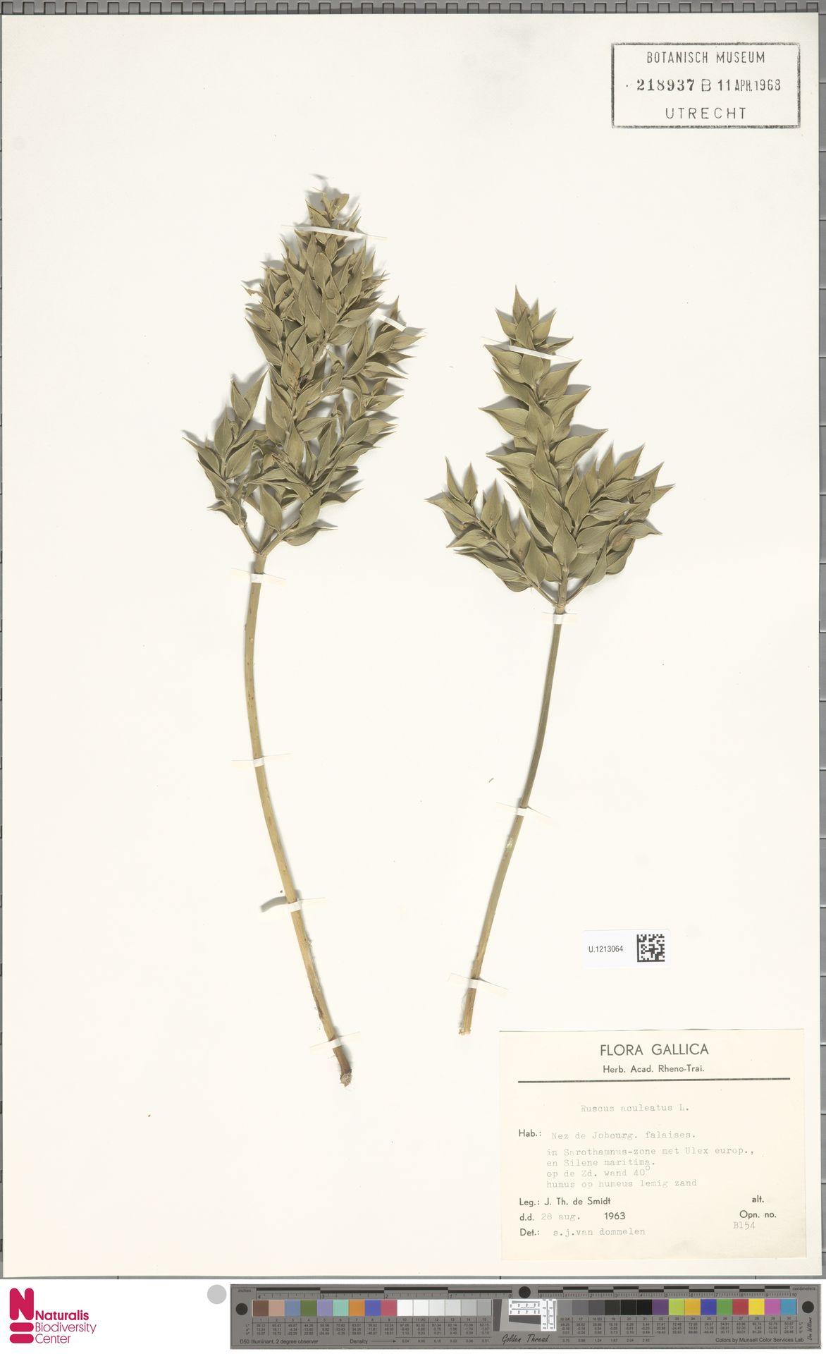 U.1213064   Ruscus aculeatus L.