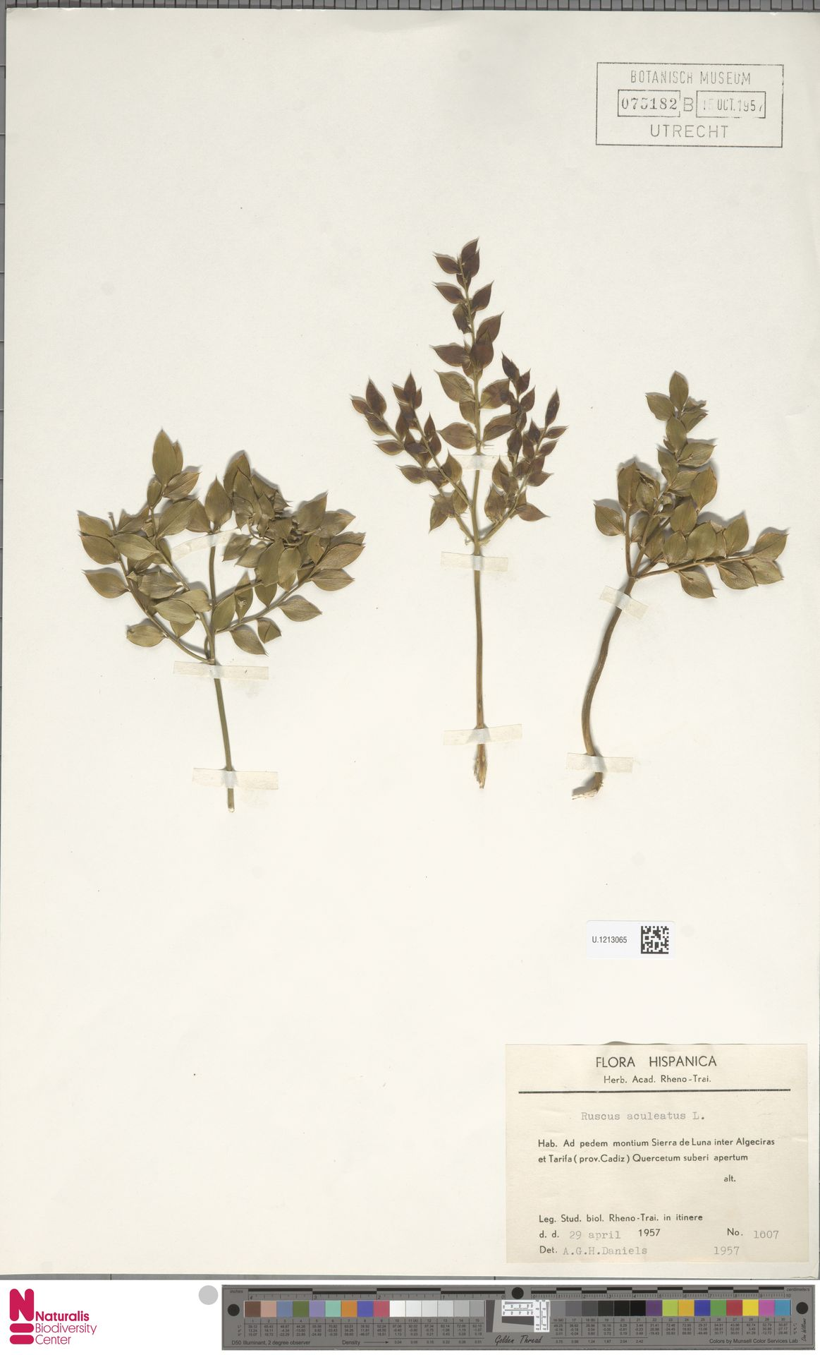 U.1213065 | Ruscus aculeatus L.