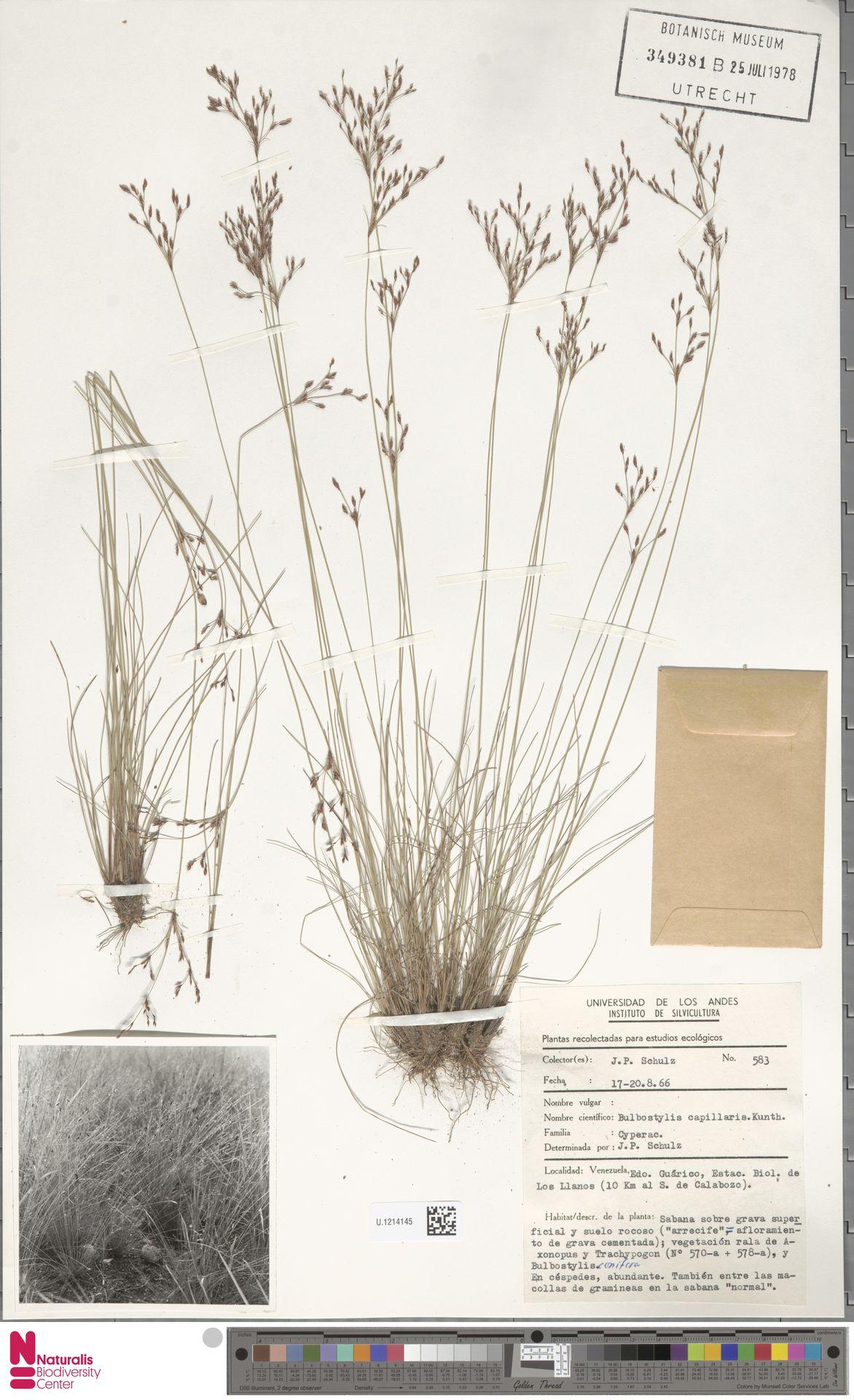 U.1214145 | Bulbostylis capillaris (L.) Kunth ex C.B.Clarke