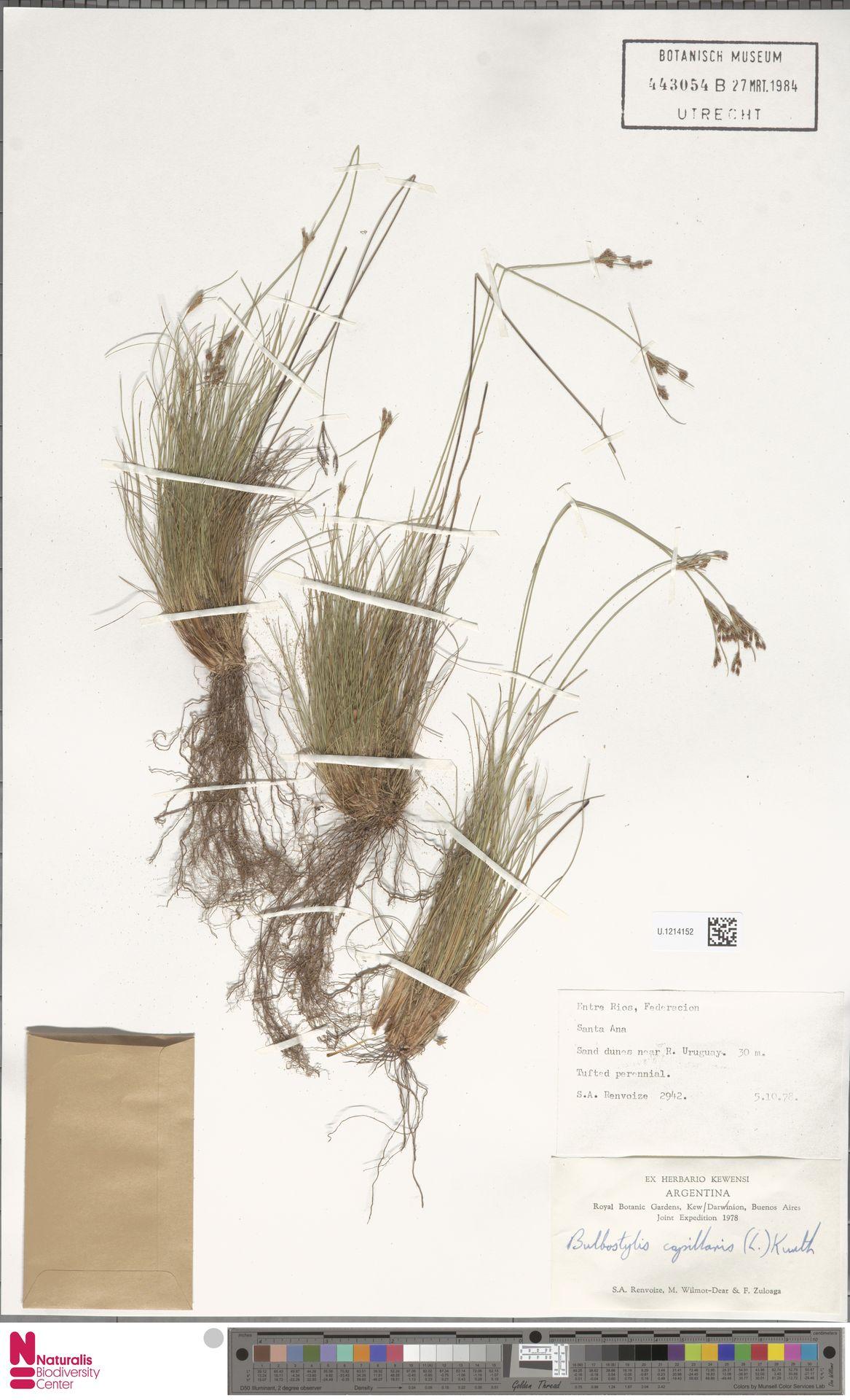 U.1214152 | Bulbostylis capillaris (L.) Kunth ex C.B.Clarke