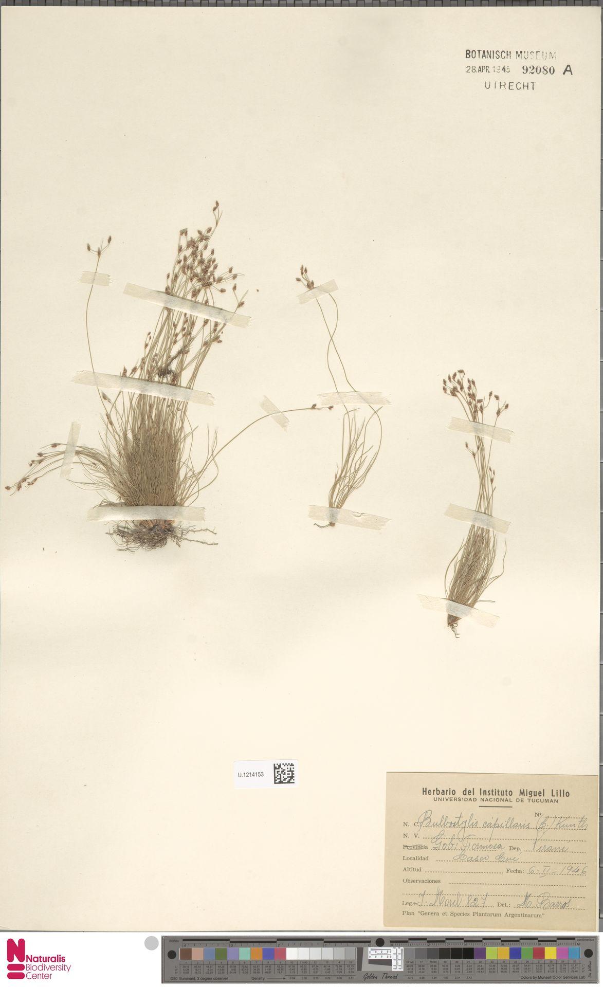 U.1214153   Bulbostylis capillaris (L.) Kunth ex C.B.Clarke