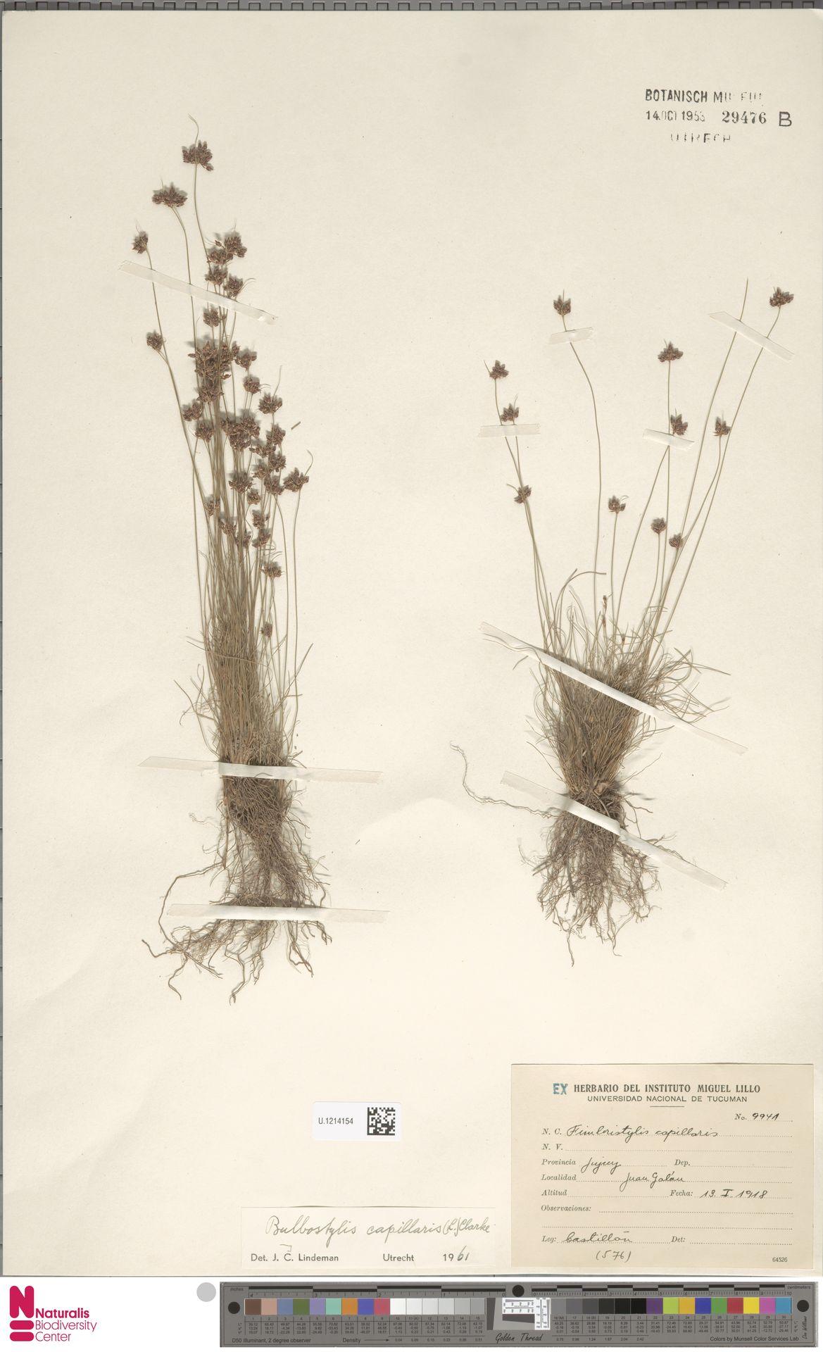 U.1214154 | Bulbostylis capillaris (L.) Kunth ex C.B.Clarke