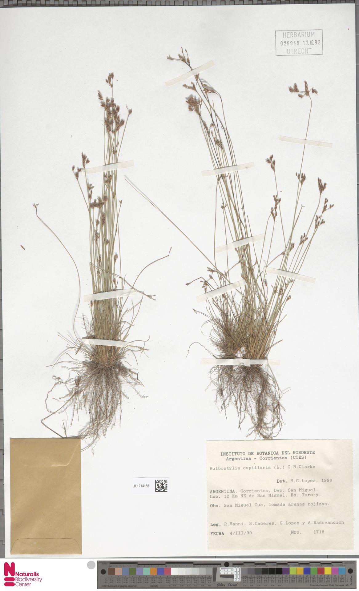 U.1214155 | Bulbostylis capillaris (L.) Kunth ex C.B.Clarke