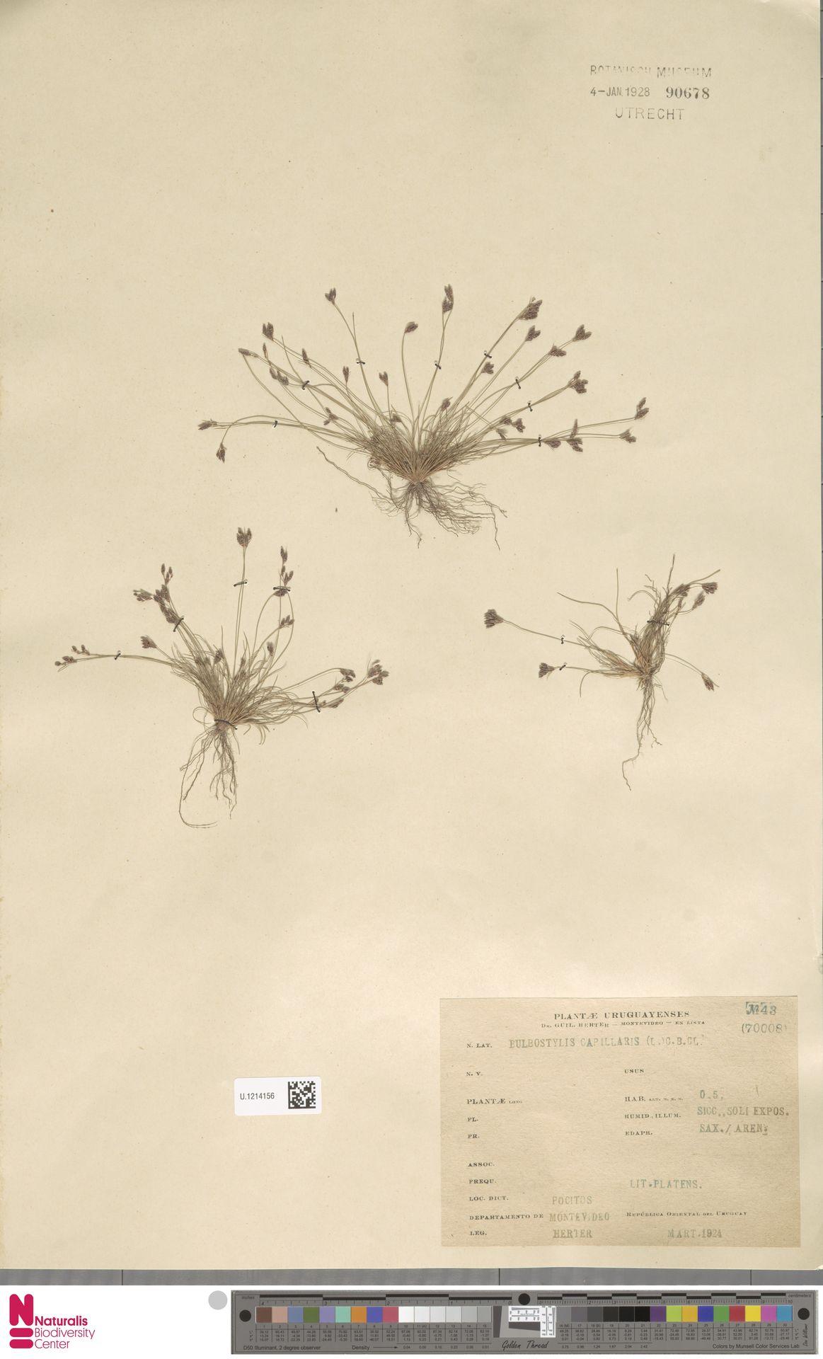 U.1214156   Bulbostylis capillaris (L.) Kunth ex C.B.Clarke