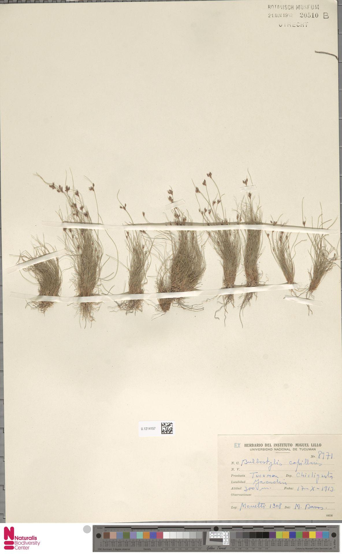 U.1214157 | Bulbostylis capillaris (L.) Kunth ex C.B.Clarke