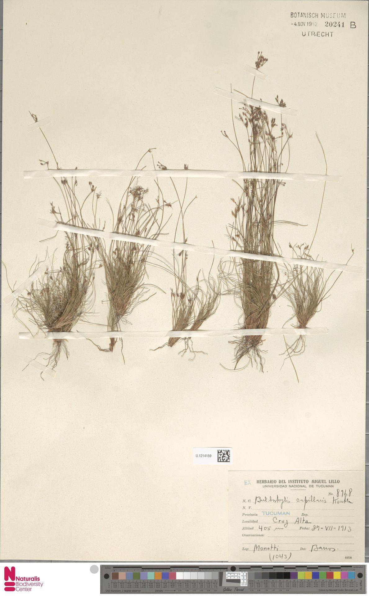 U.1214159   Bulbostylis capillaris (L.) Kunth ex C.B.Clarke