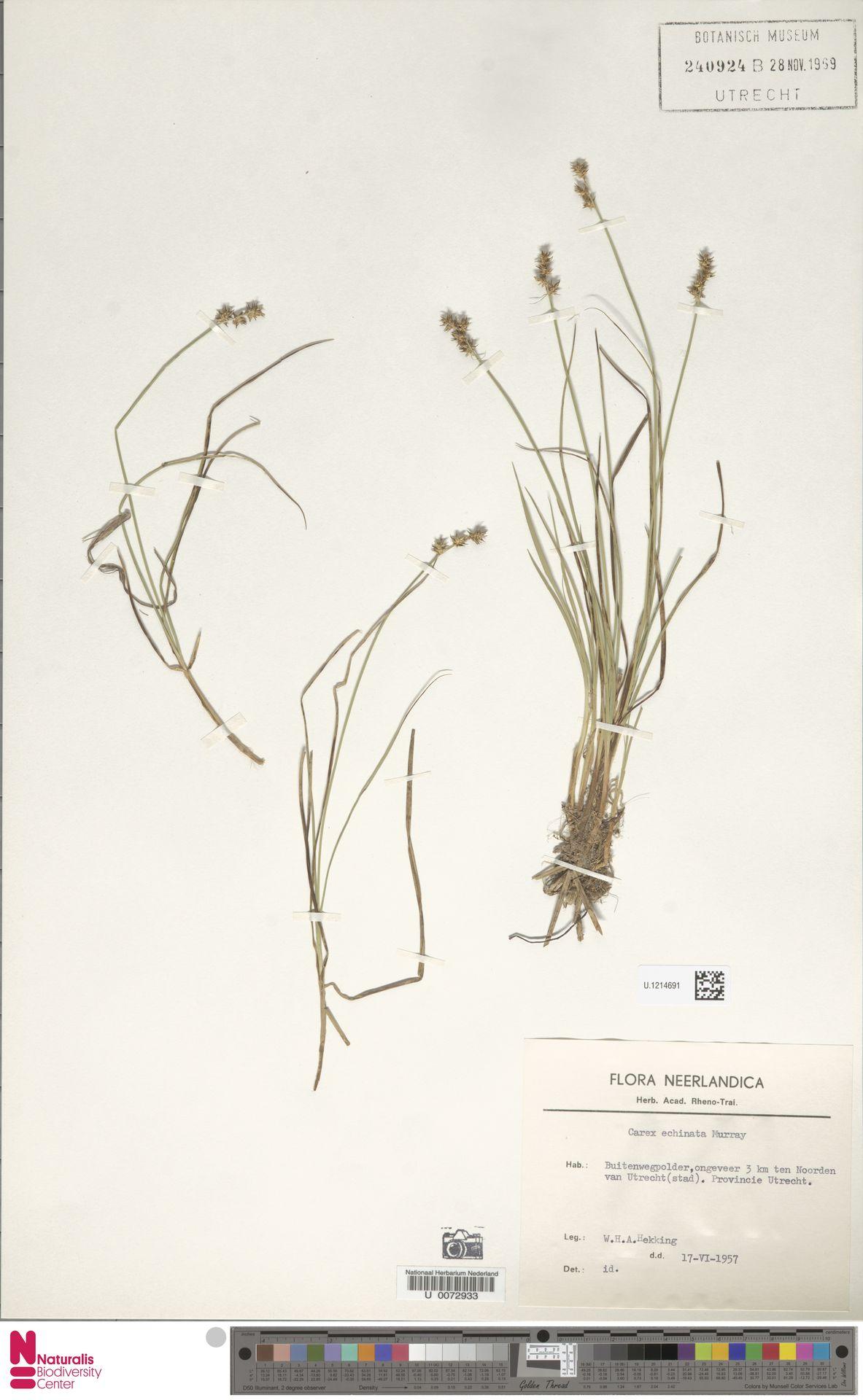 U.1214691 | Carex echinata Murray