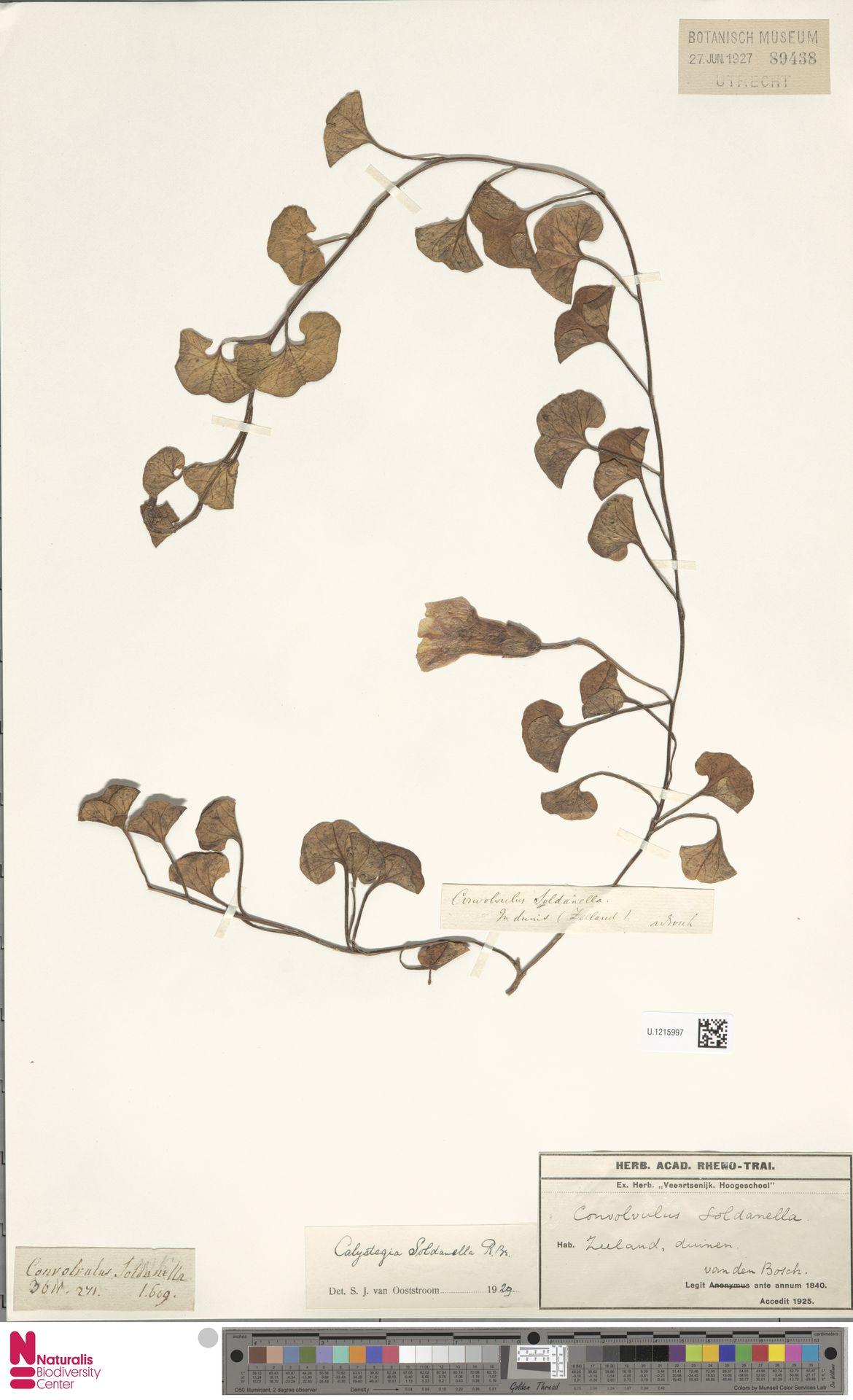 U.1215997 | Calystegia soldanella (L.) R.Br.