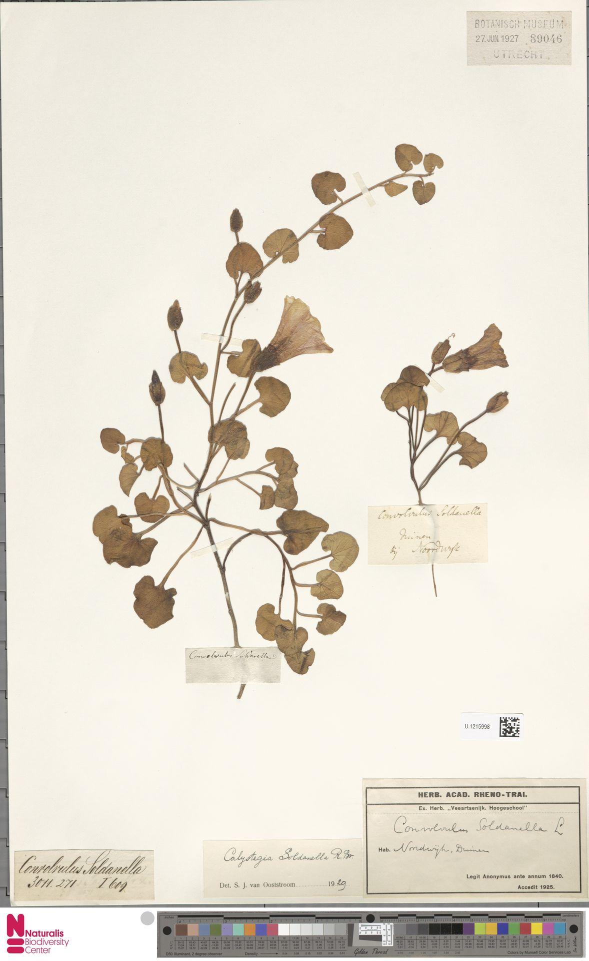 U.1215998 | Calystegia soldanella (L.) R.Br.