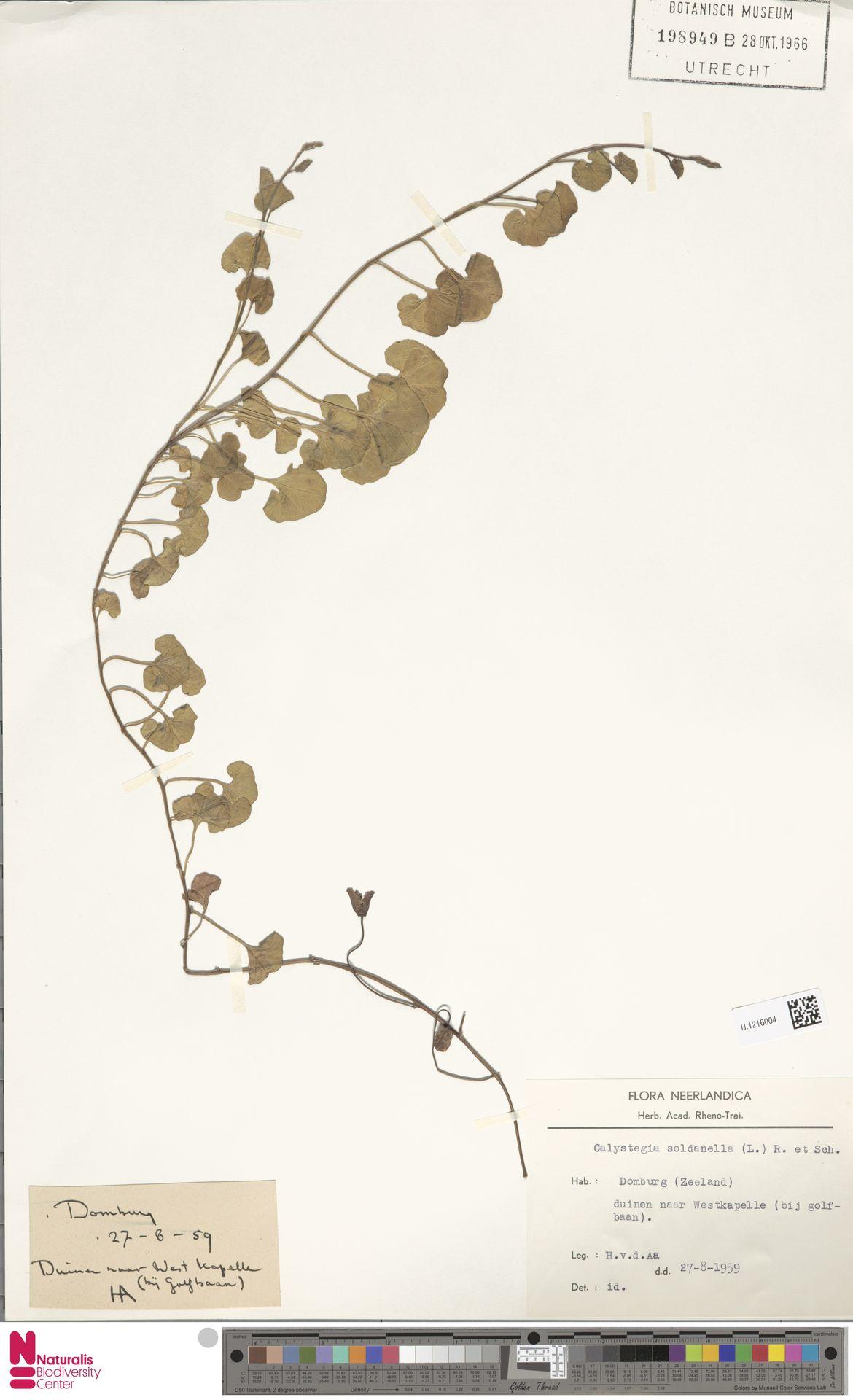 U.1216004 | Calystegia soldanella (L.) R.Br.