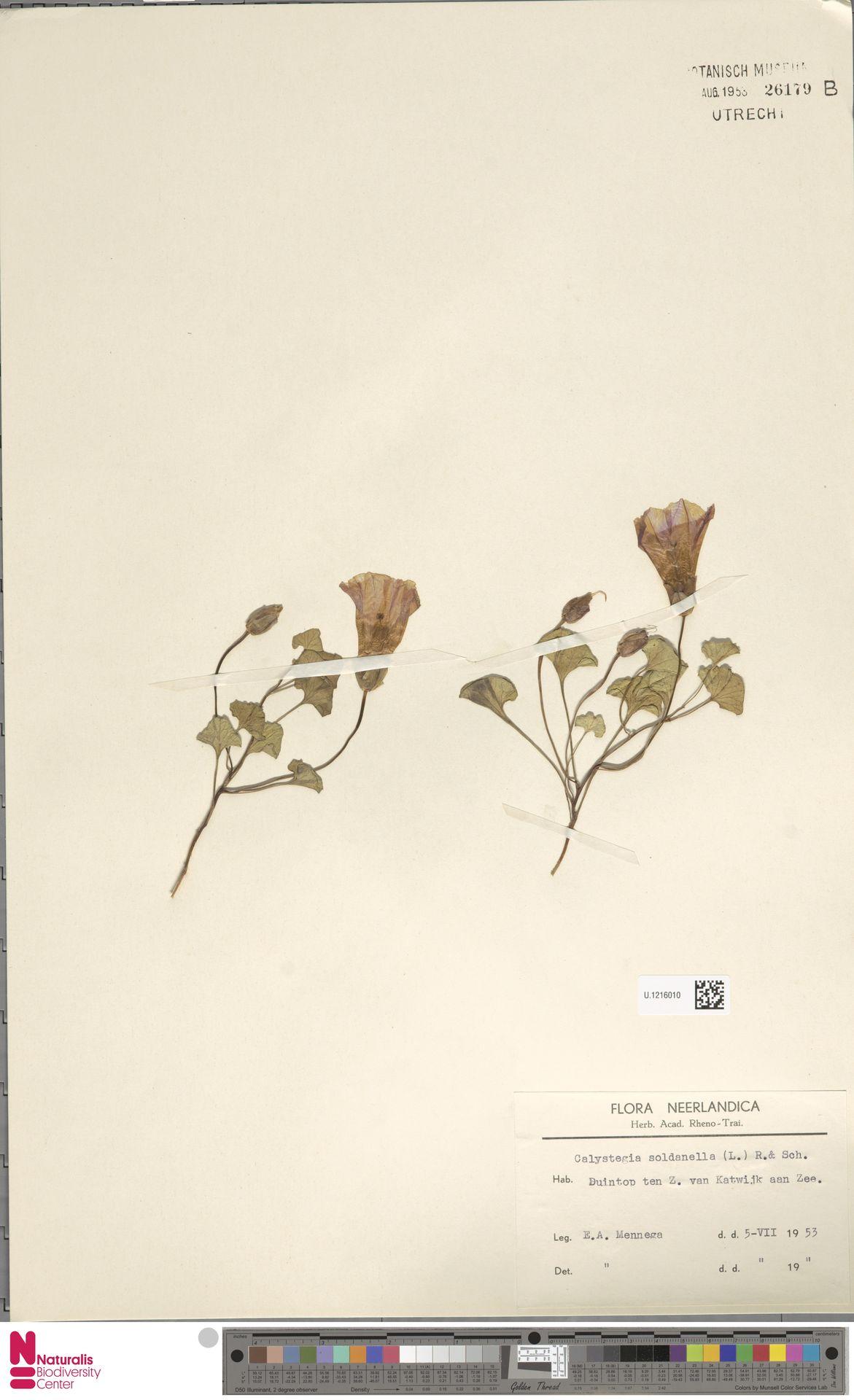 U.1216010 | Calystegia soldanella (L.) R.Br.