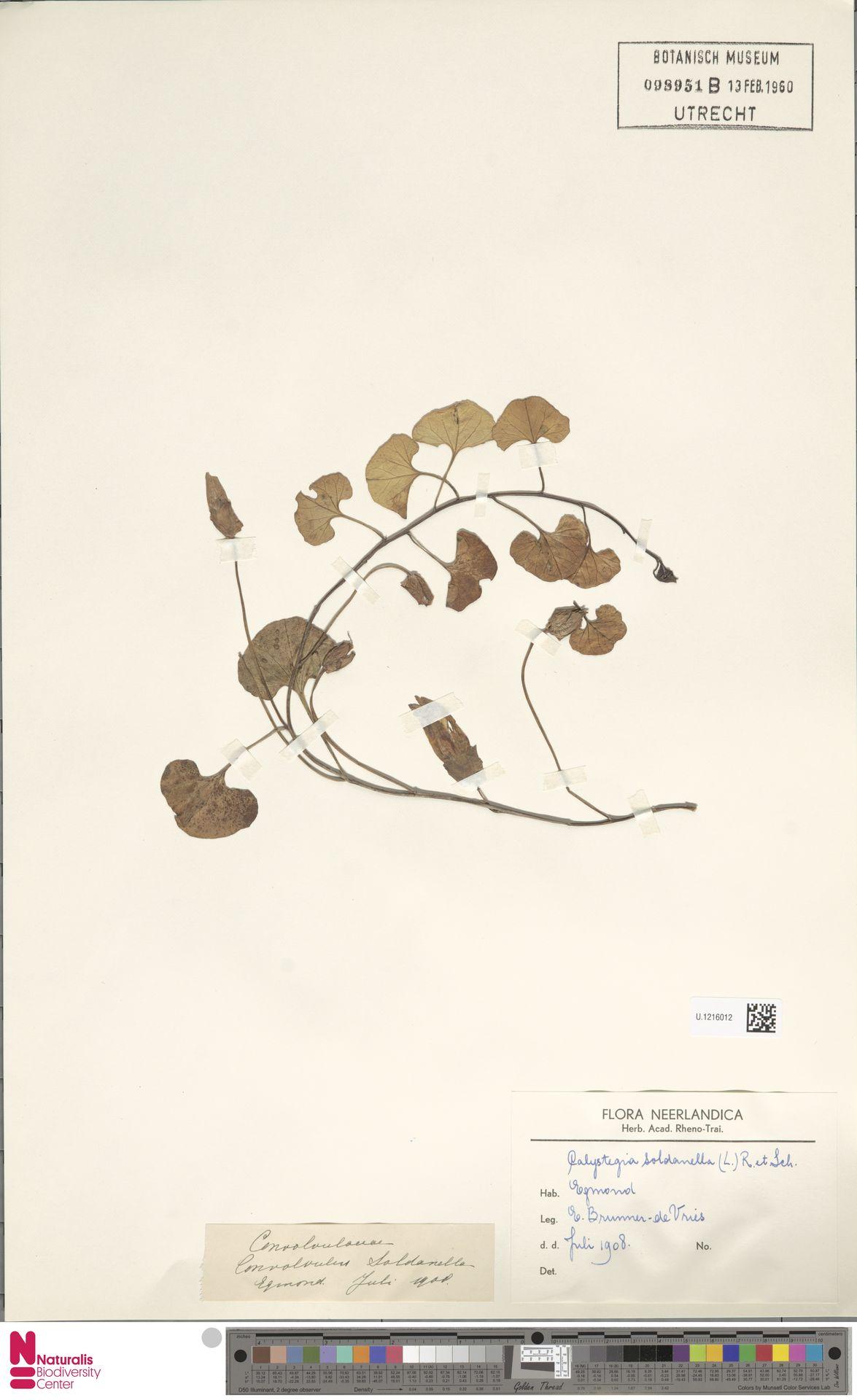 U.1216012   Calystegia soldanella (L.) R.Br.