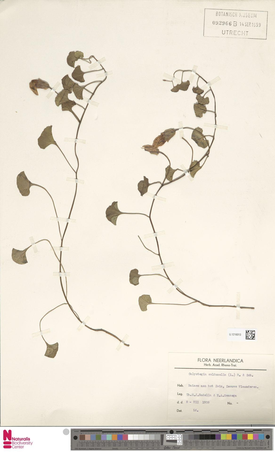 U.1216013 | Calystegia soldanella (L.) R.Br.