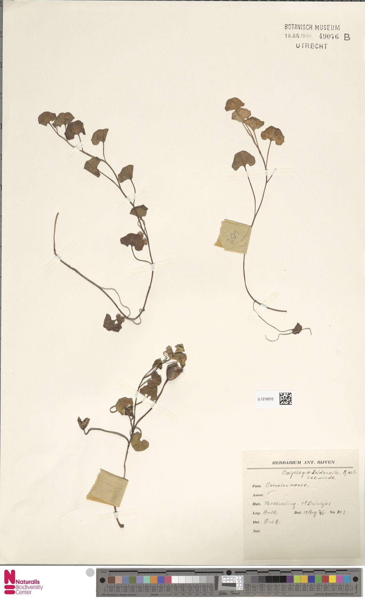 U.1216015 | Calystegia soldanella (L.) R.Br.