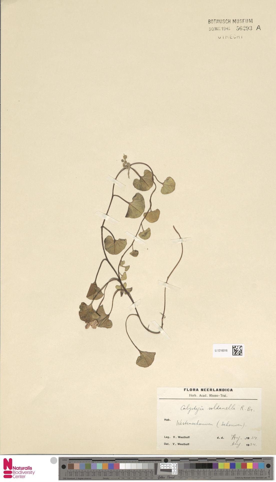 U.1216016   Calystegia soldanella (L.) R.Br.