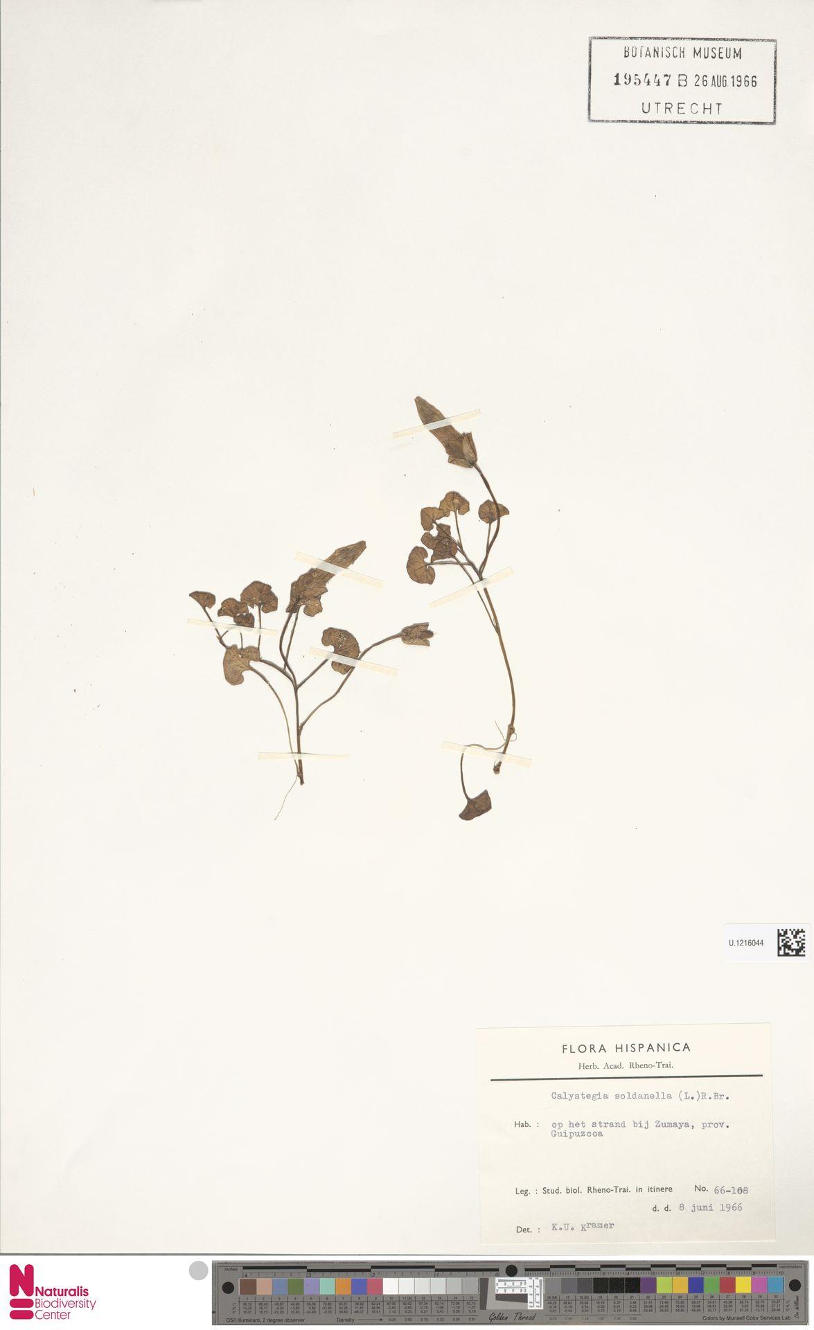 U.1216044   Calystegia soldanella (L.) R.Br.