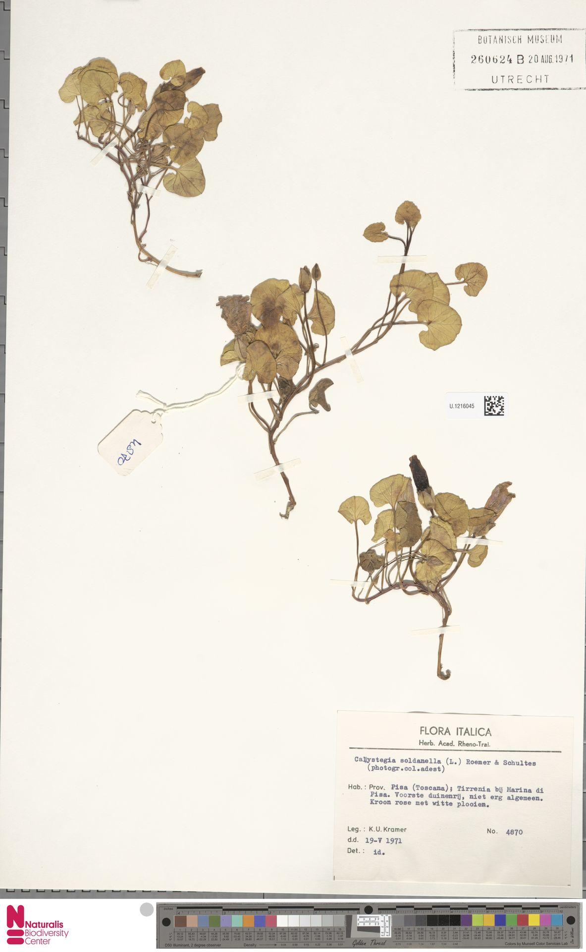 U.1216045 | Calystegia soldanella (L.) R.Br.