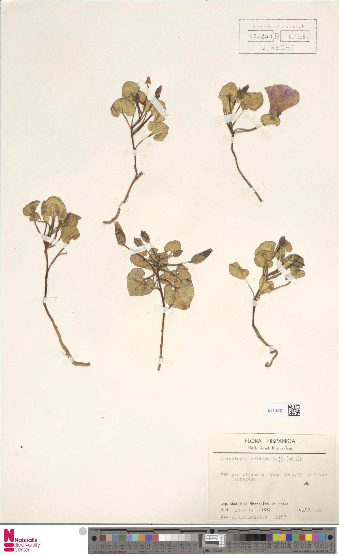 U.1216047 | Calystegia soldanella (L.) R.Br.