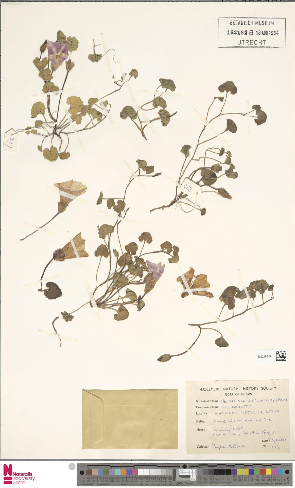 U.1216048 | Calystegia soldanella (L.) R.Br.
