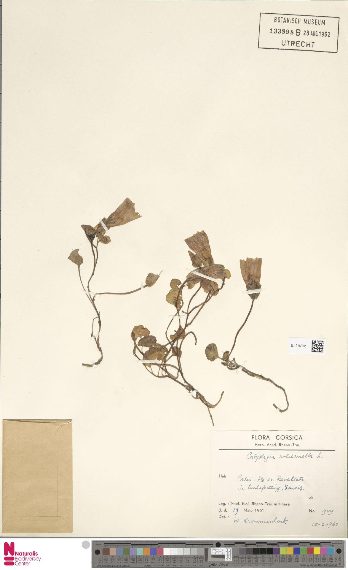 U.1216052 | Calystegia soldanella (L.) R.Br.