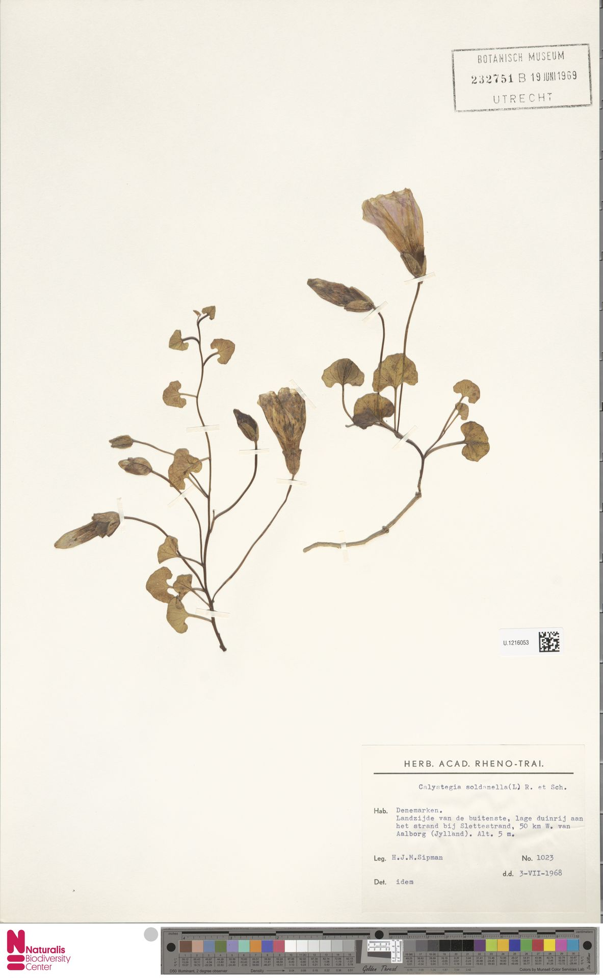 U.1216053   Calystegia soldanella (L.) R.Br.