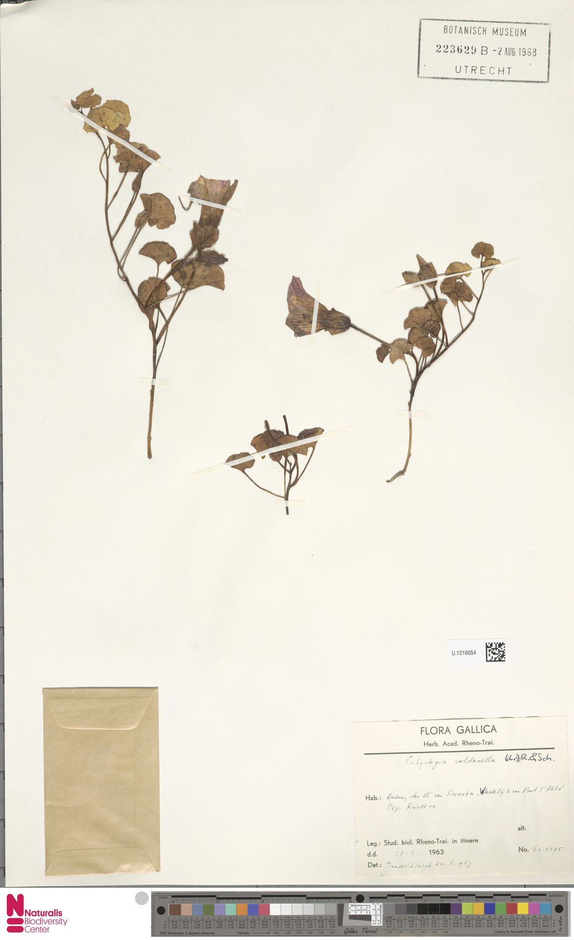 U.1216054   Calystegia soldanella (L.) R.Br.
