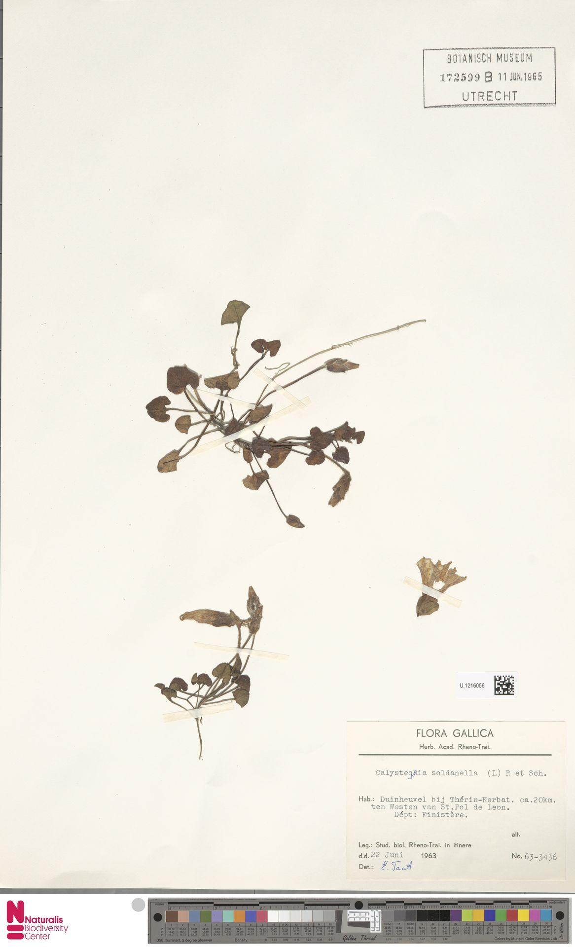 U.1216056 | Calystegia soldanella (L.) R.Br.
