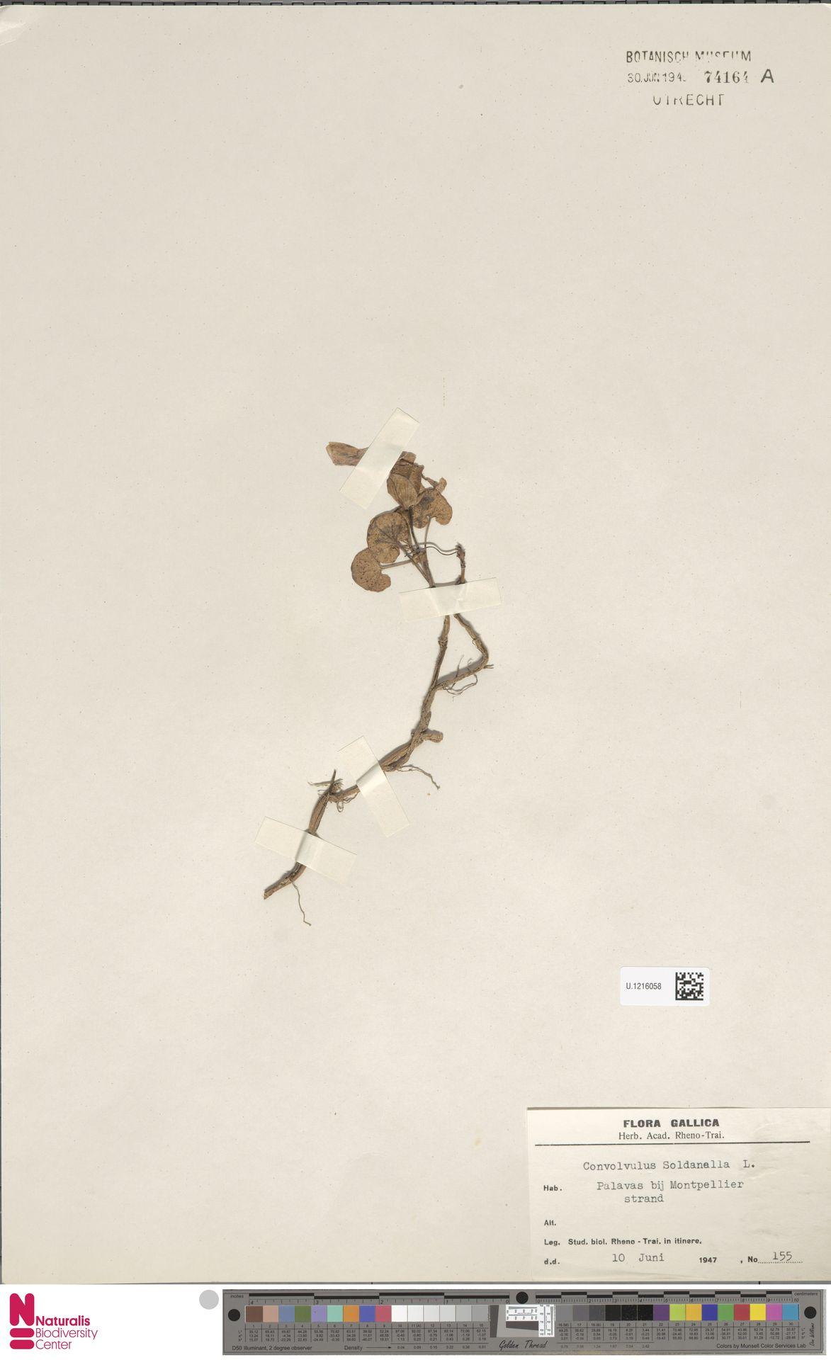 U.1216058 | Calystegia soldanella (L.) R.Br.