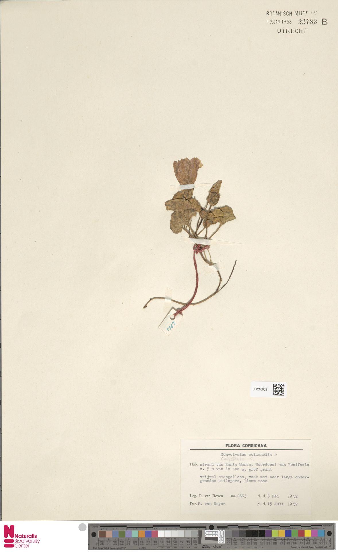 U.1216059 | Calystegia soldanella (L.) R.Br.