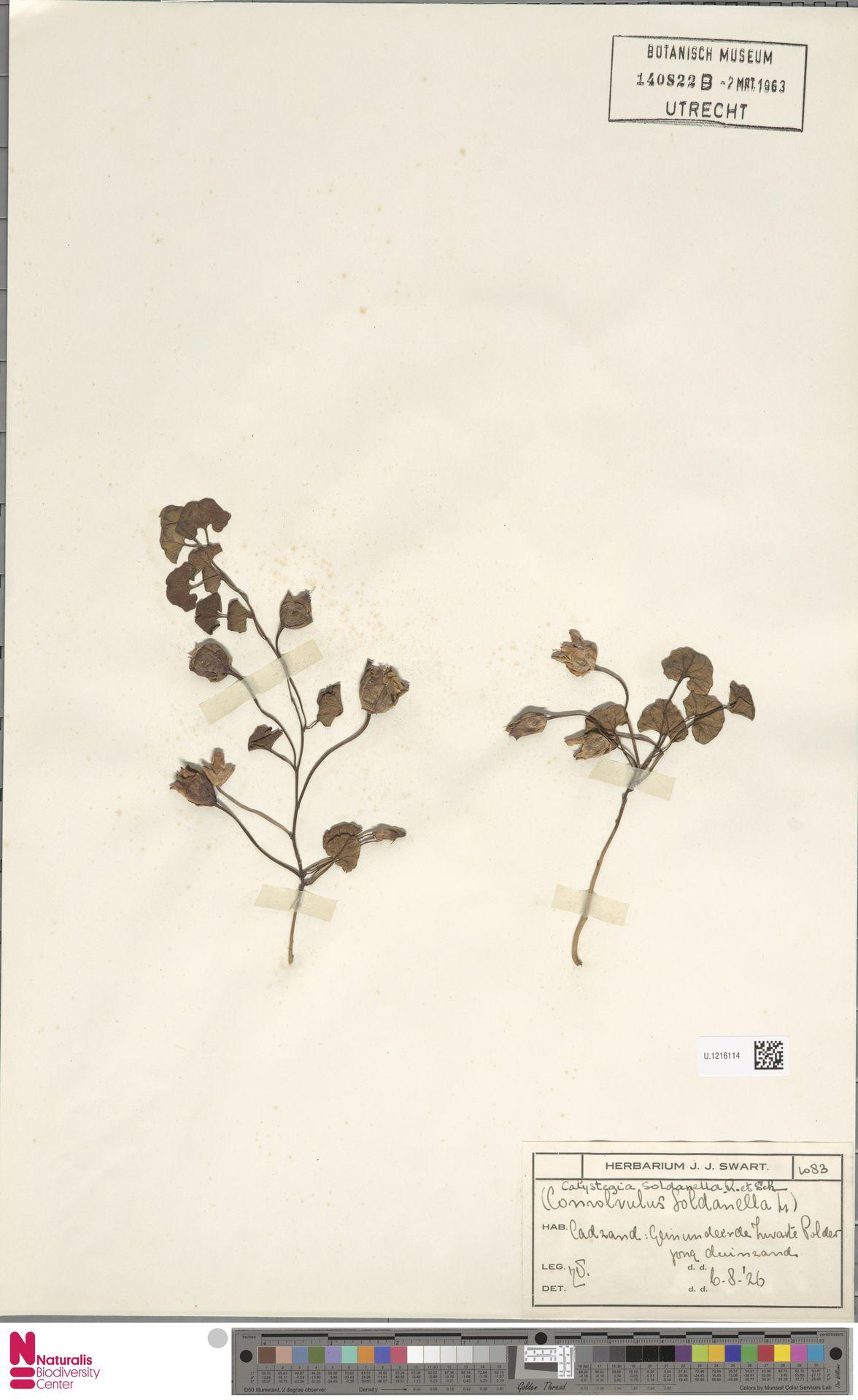 U.1216114 | Calystegia soldanella (L.) R.Br.