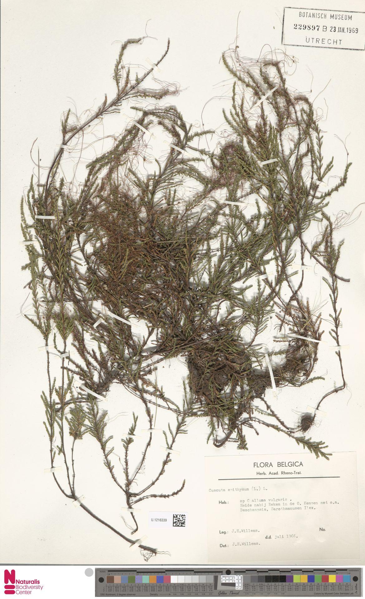 U.1216339   Cuscuta epithymum (L.) L.