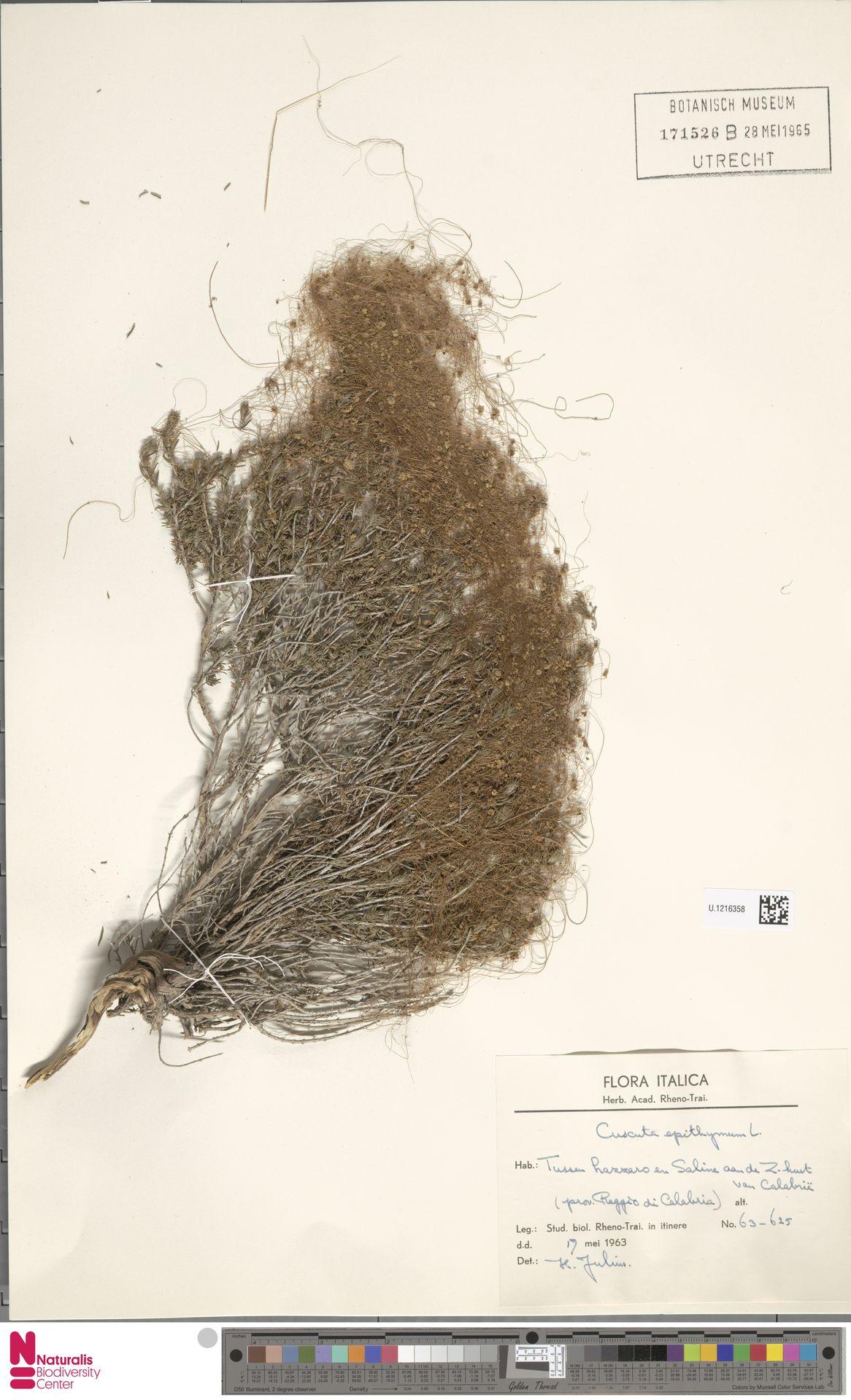 U.1216358 | Cuscuta epithymum (L.) L.