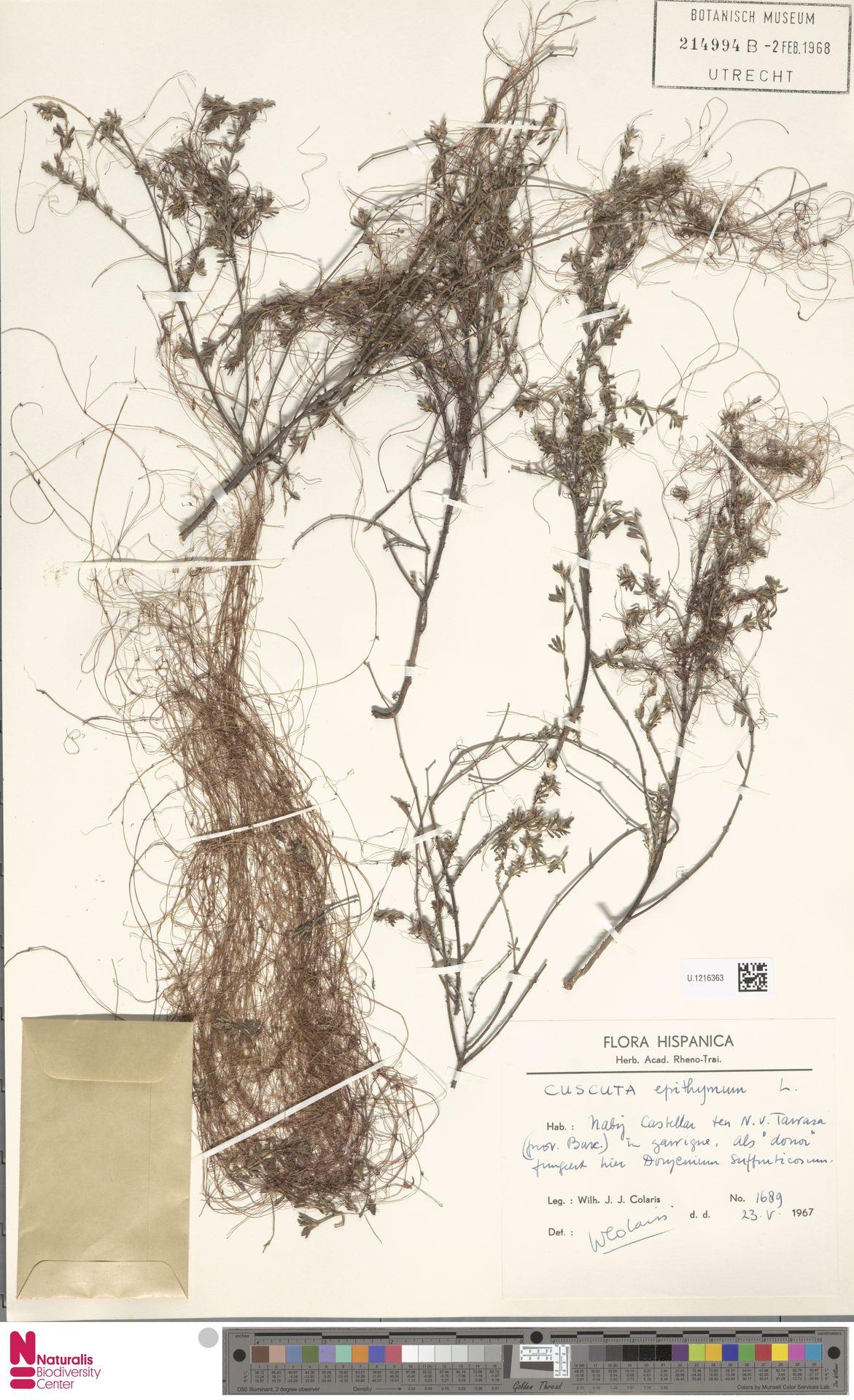U.1216363   Cuscuta epithymum (L.) L.