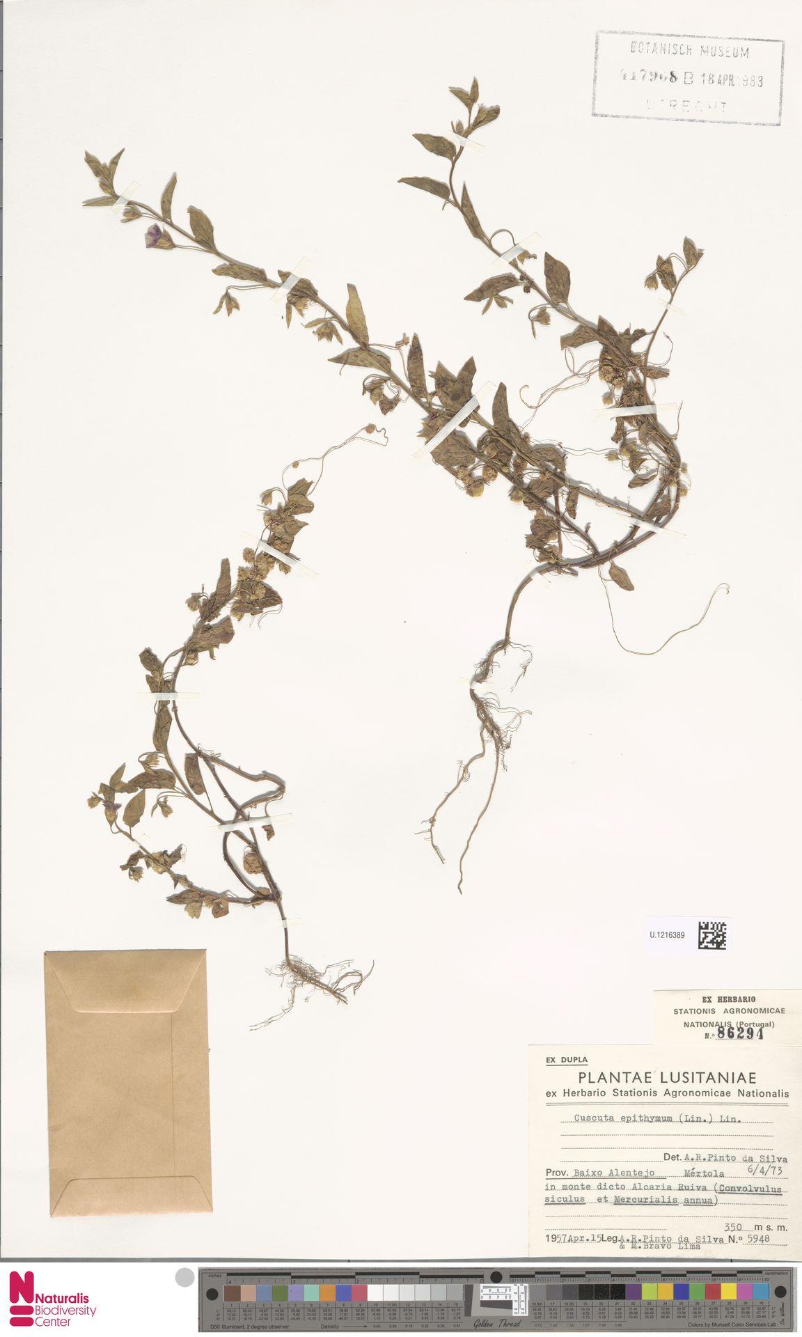 U.1216389 | Cuscuta epithymum (L.) L.