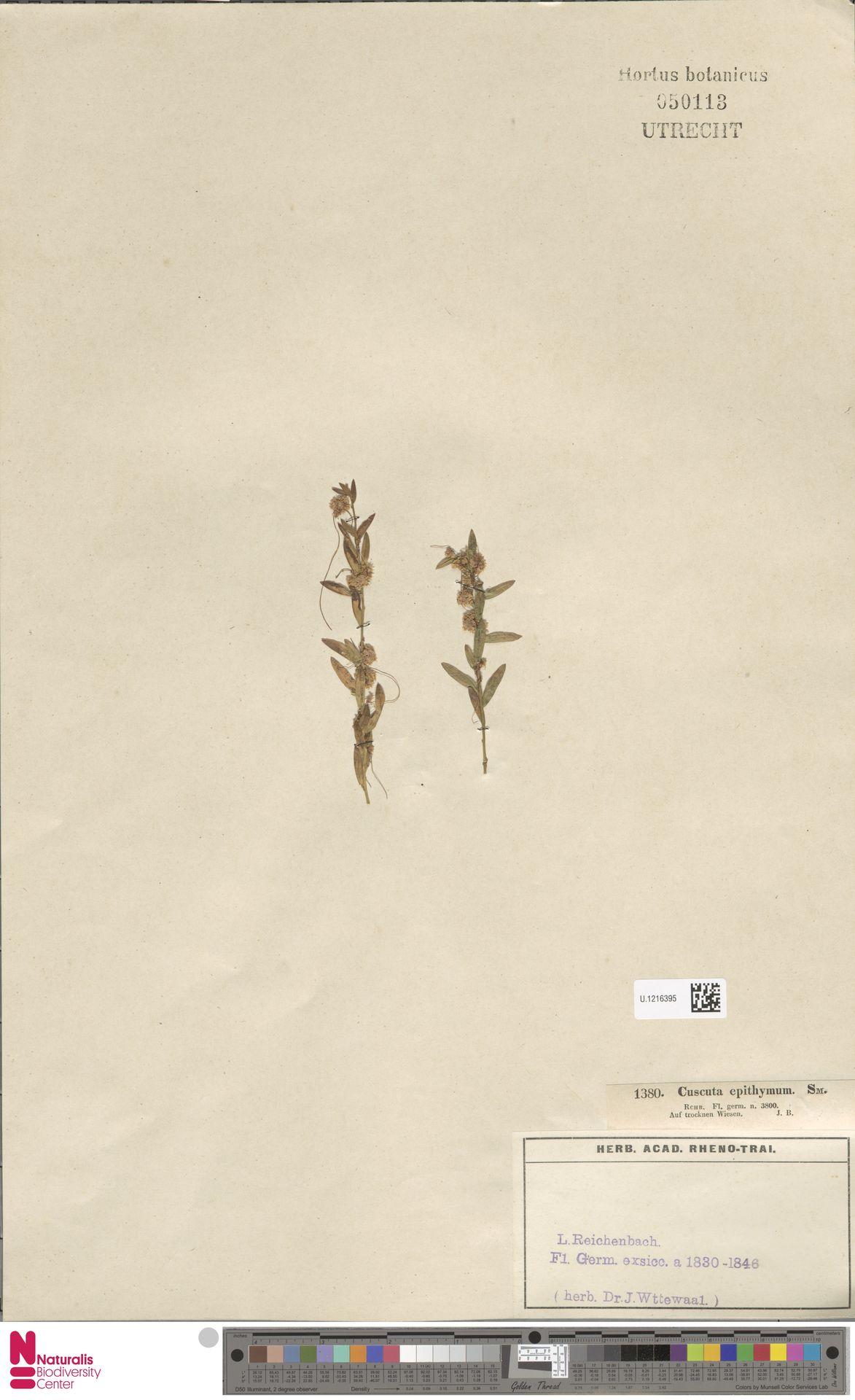 U.1216395 | Cuscuta epithymum (L.) L.