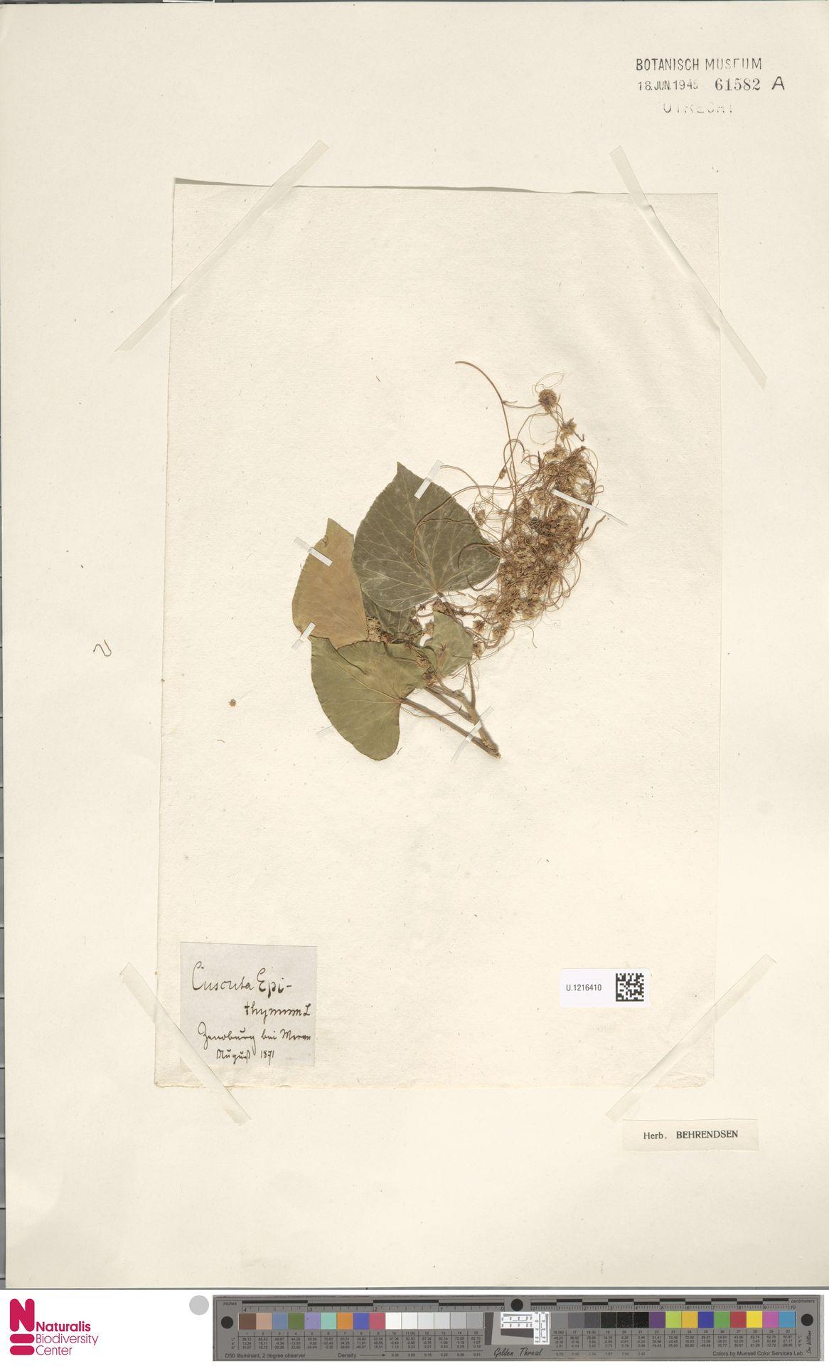 U.1216410 | Cuscuta epithymum (L.) L.