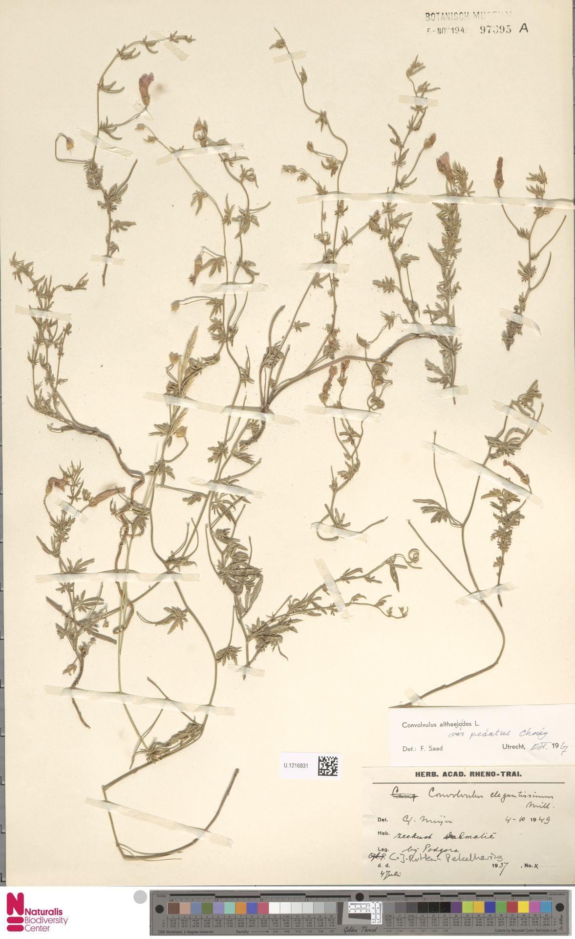 U.1216831 | Convolvulus elegantissimus Mill.