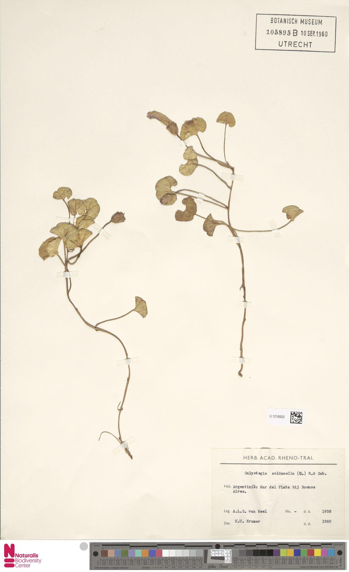 U.1216933   Calystegia soldanella (L.) R.Br.