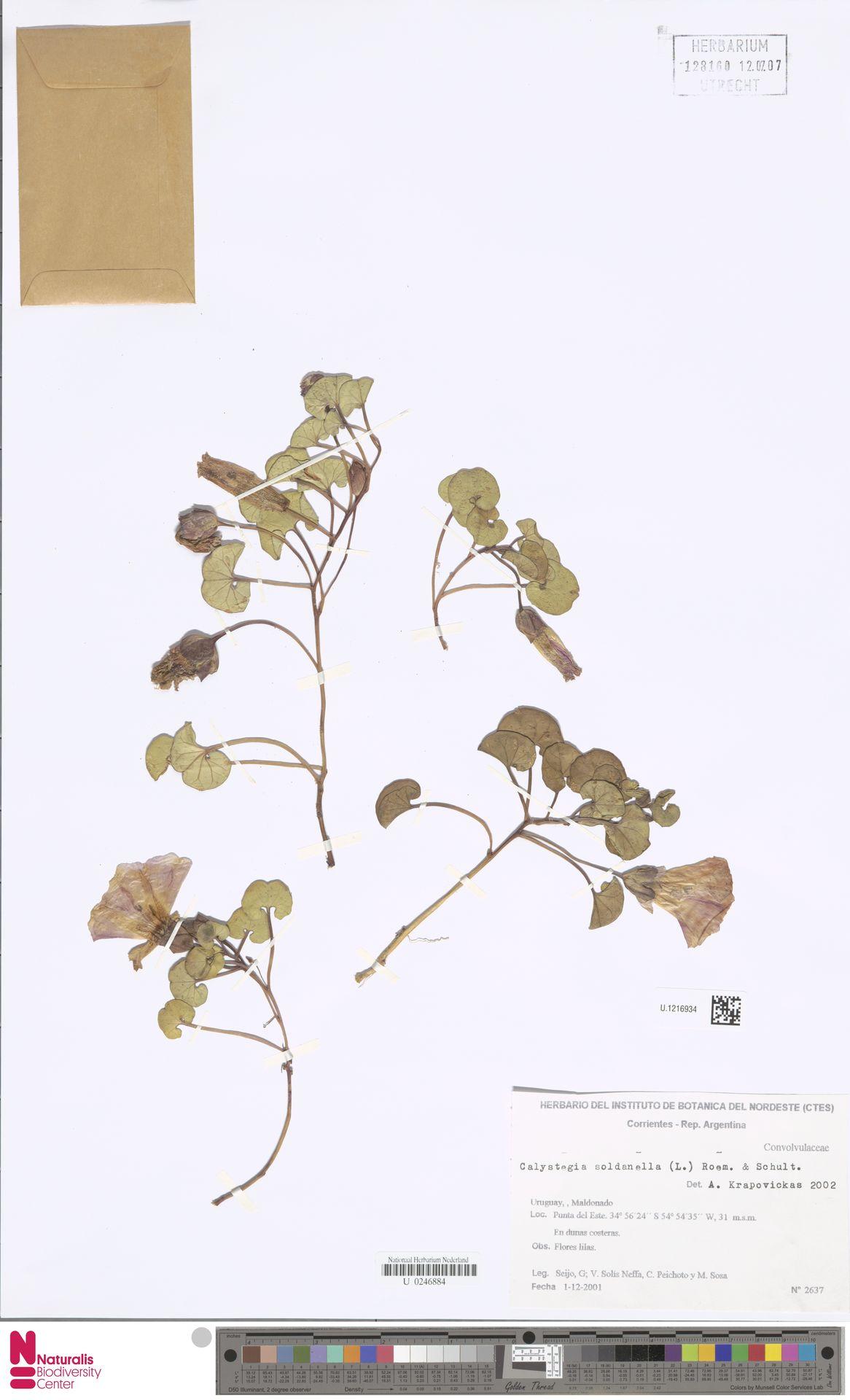 U.1216934 | Calystegia soldanella (L.) R.Br.