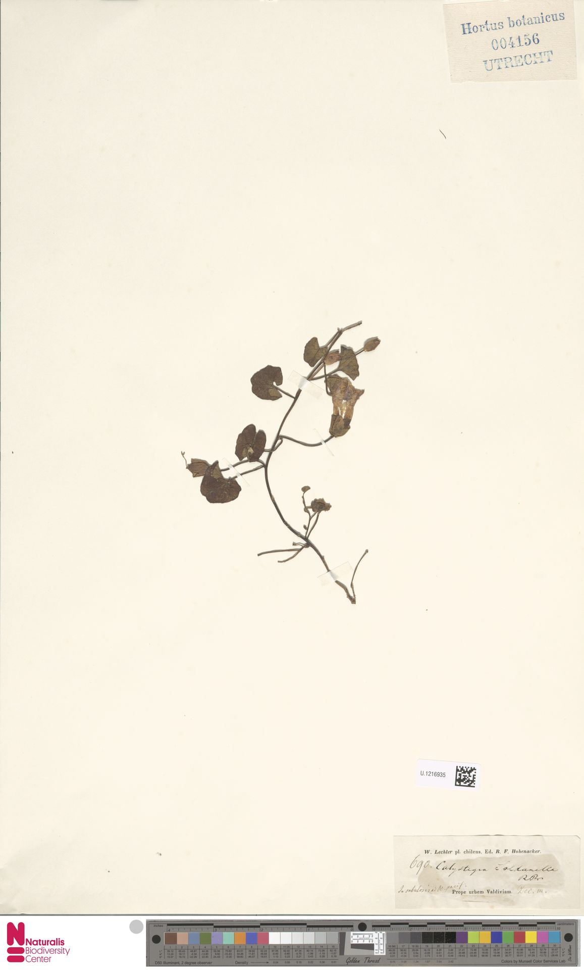 U.1216935 | Calystegia soldanella (L.) R.Br.