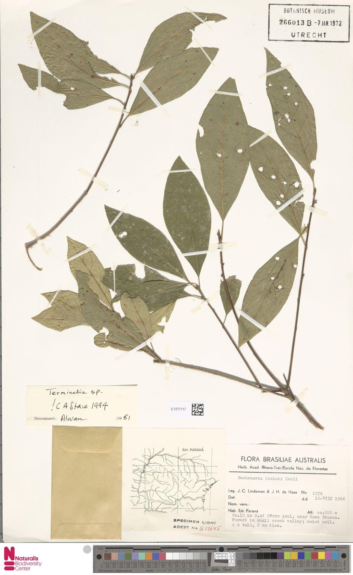 U.1217117 | Buchenavia kleinii Exell