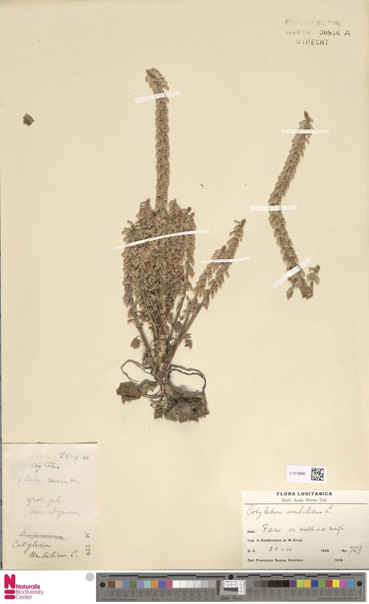 U.1218688 | Cotyledon umbilicus L.